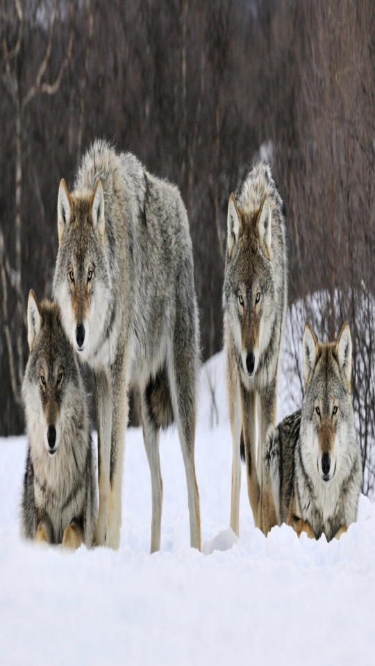 wolves in norway essay Ethnography when the lads go hunting: the 'hammertown mechanism' and the conflict over wolves in norway olve krange and ketil skogen ethnography 2011 12: 466 doi: 101177/1466138110397227 the online version of this article can be found at:   published by: .
