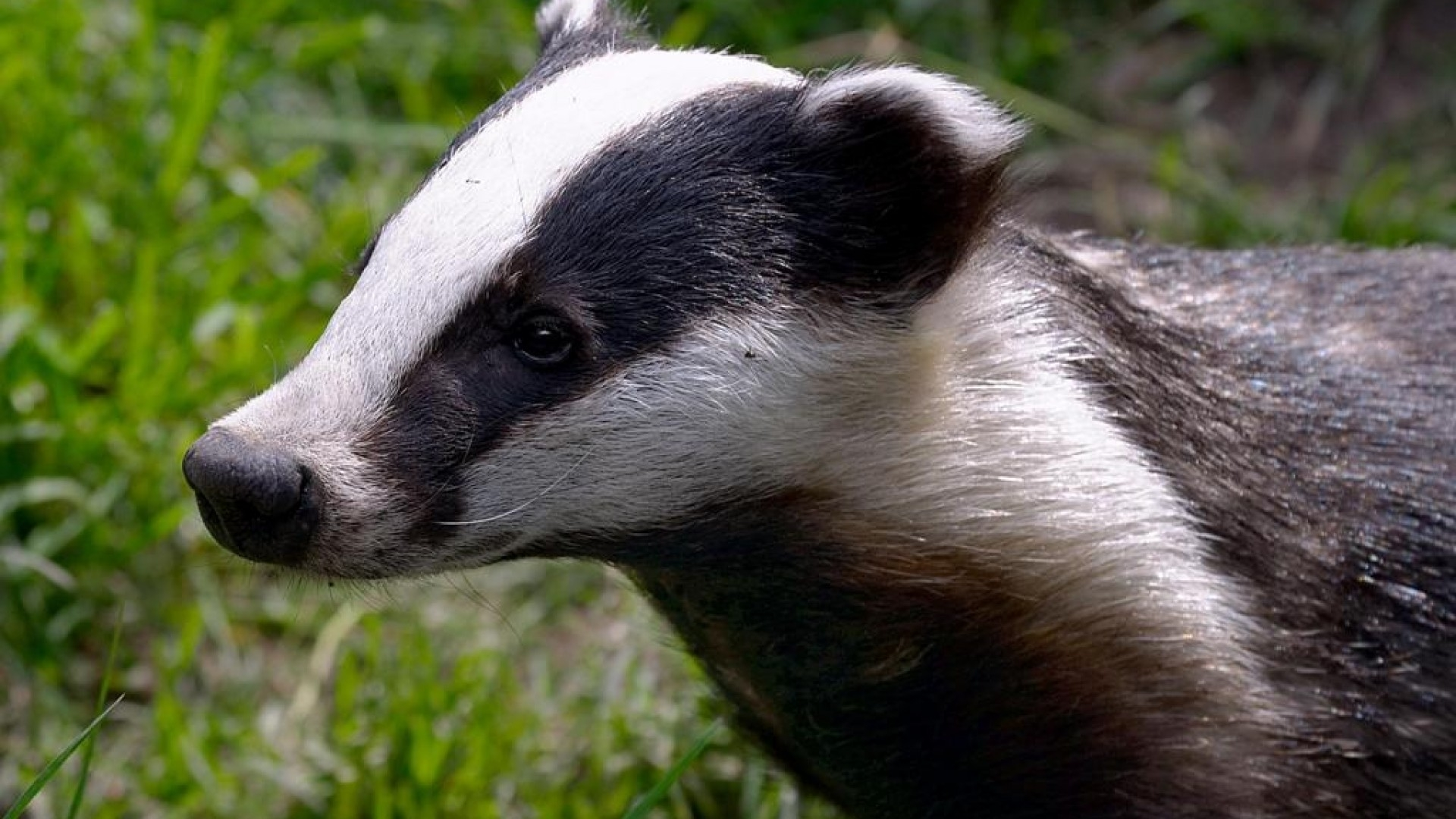 badger 1080p hd