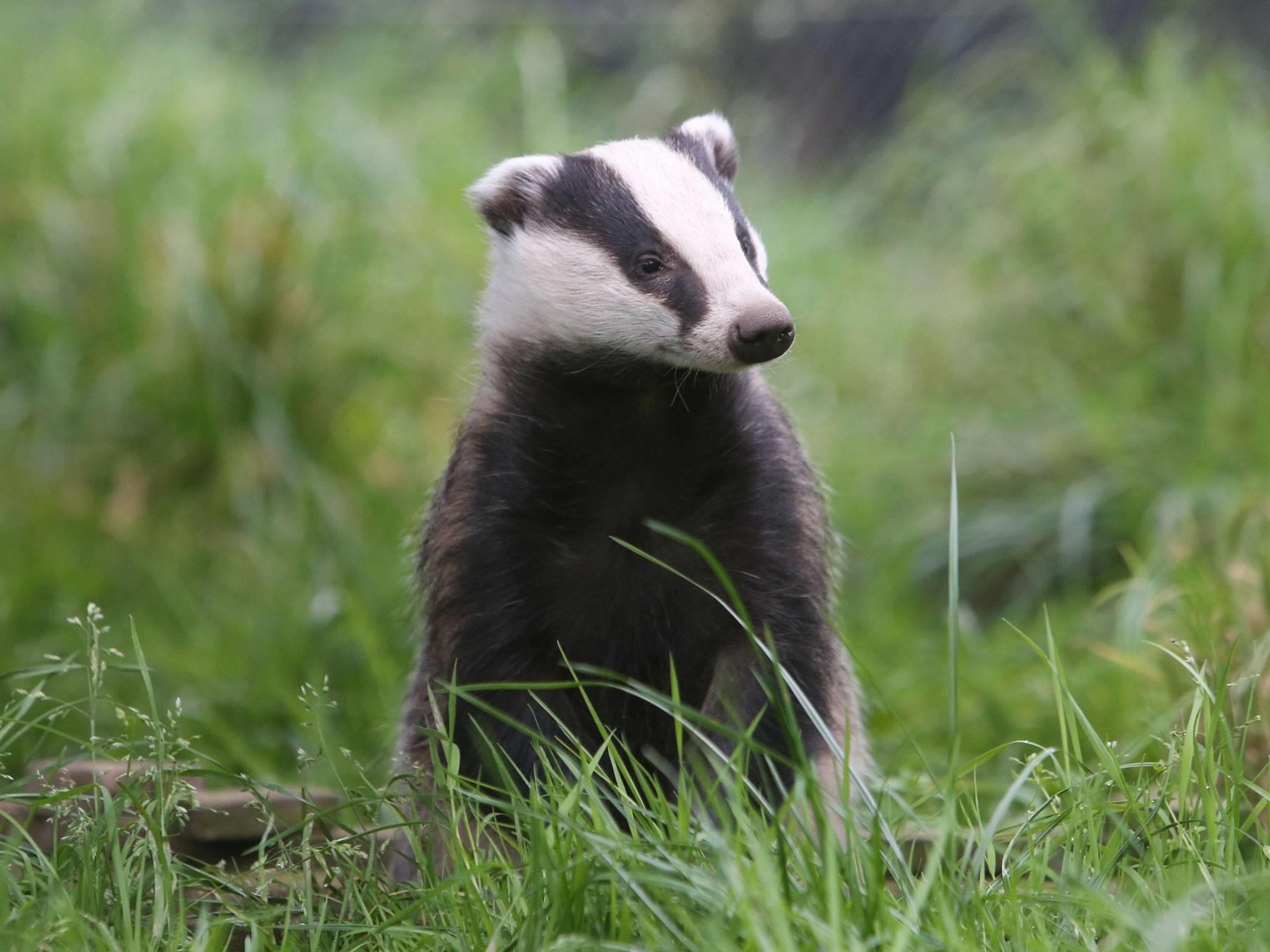 badger desktop wallpaper