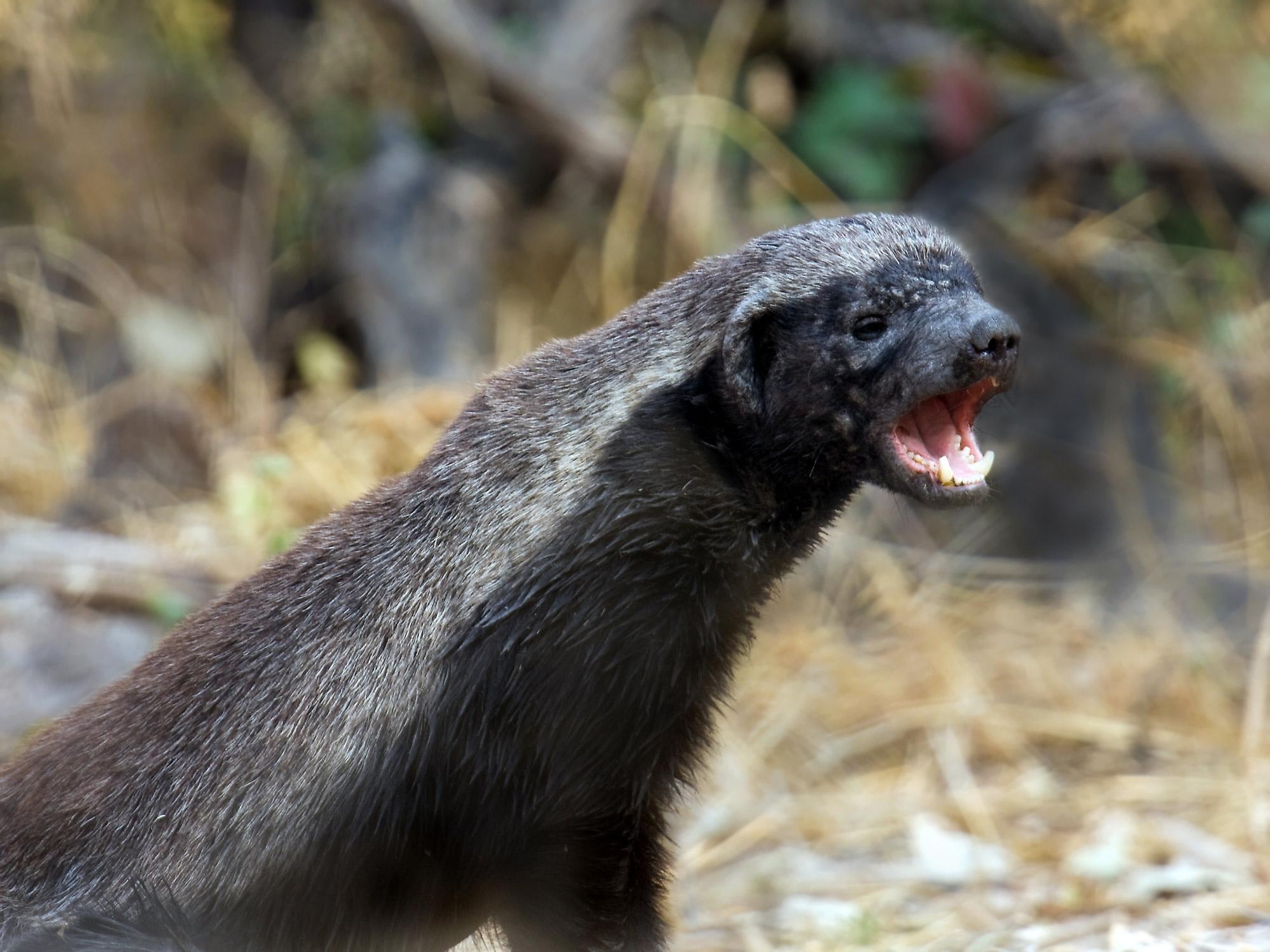 badger free download