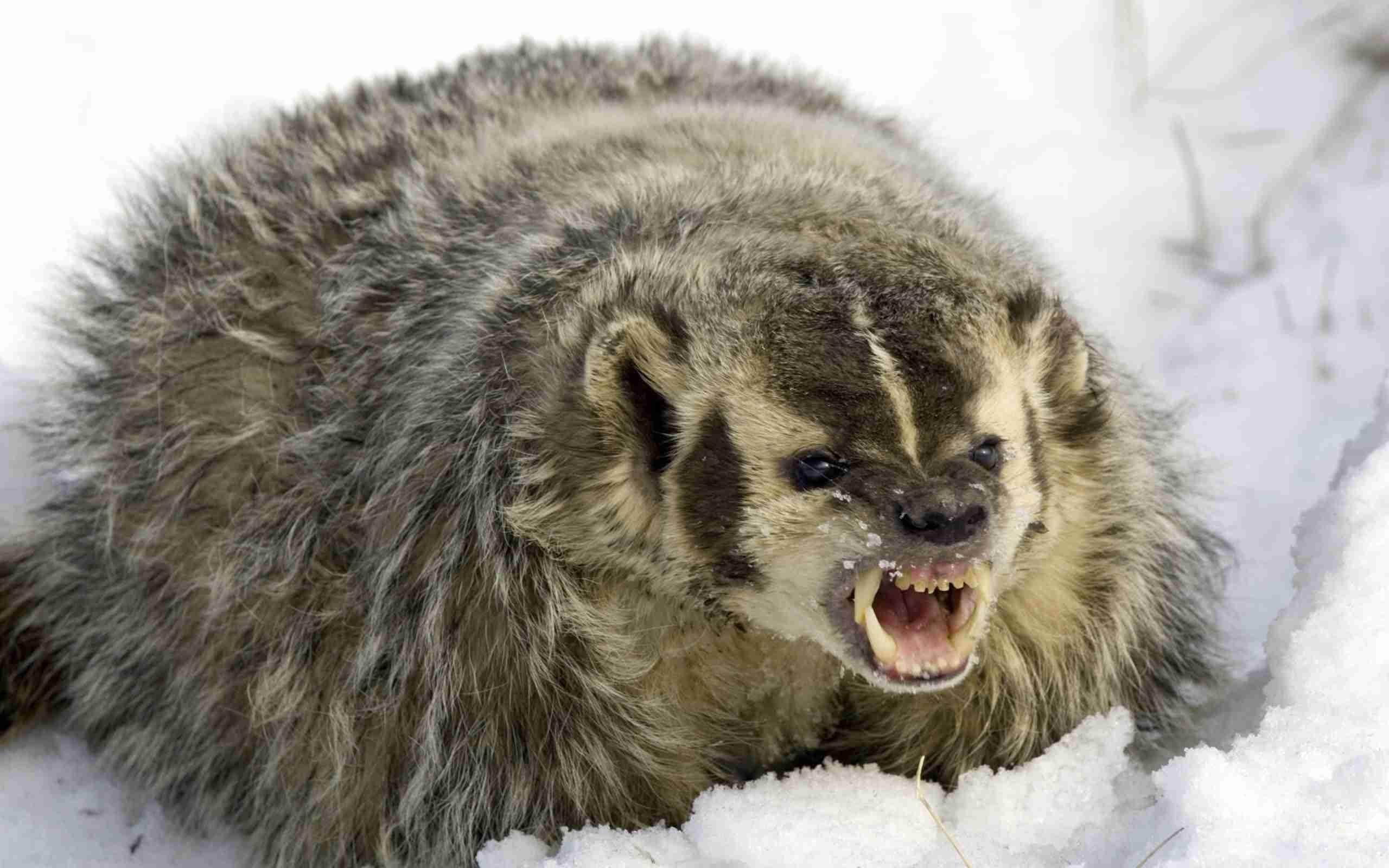 badger full hd