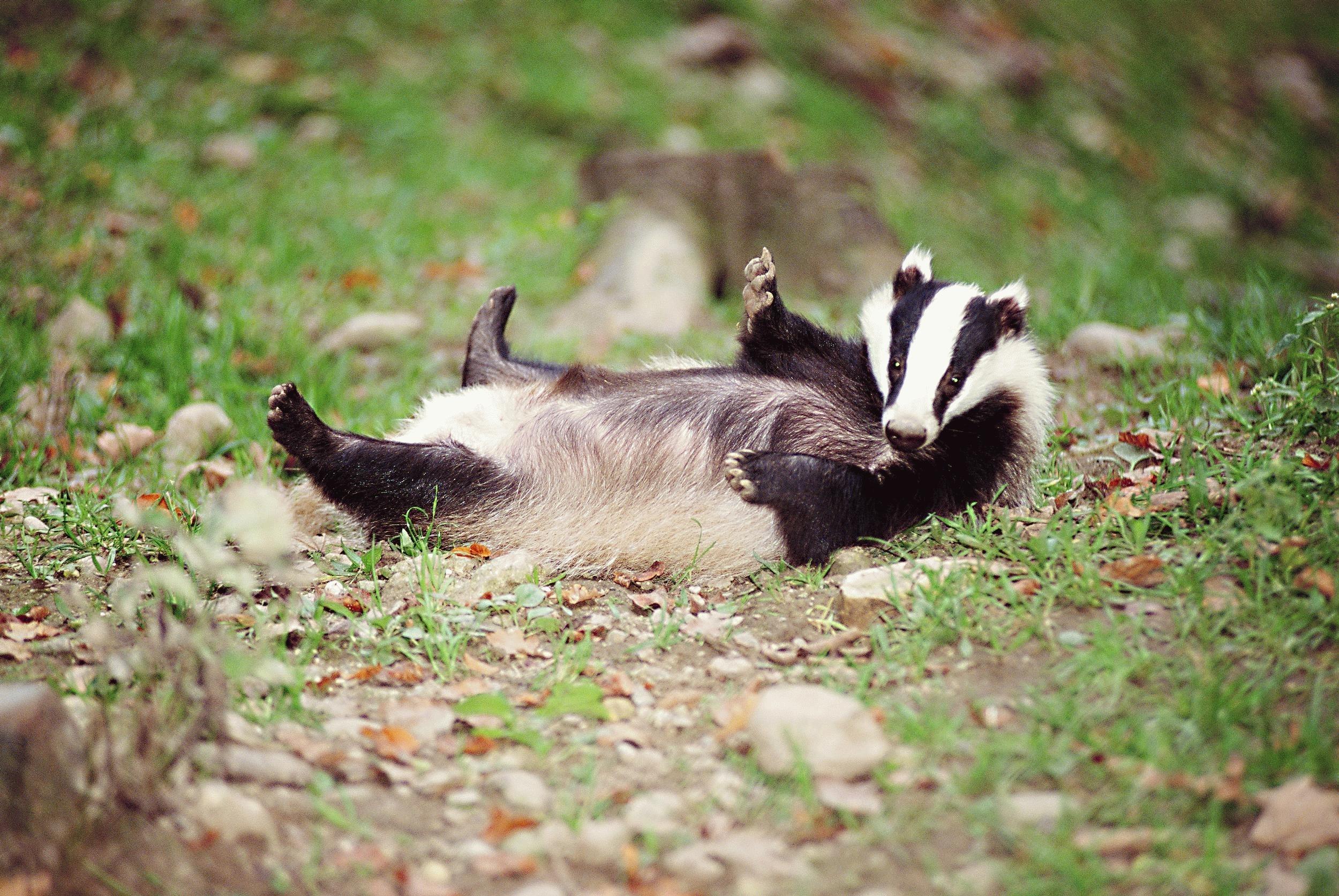 badger hd photos