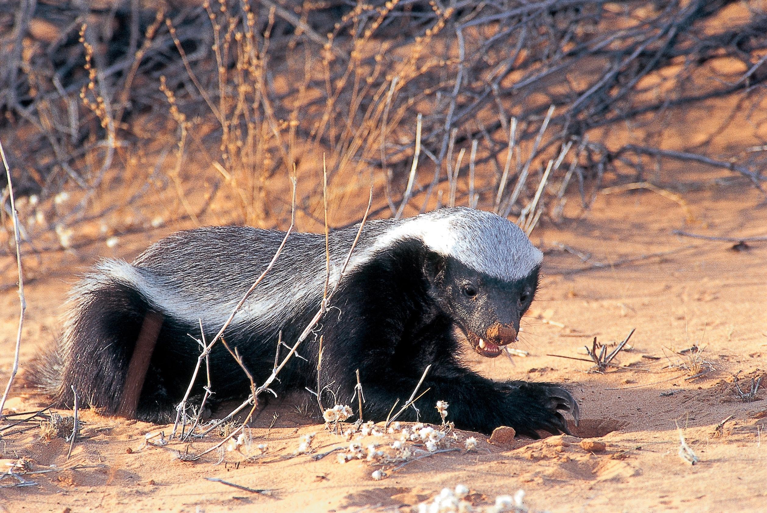 badger hd pics