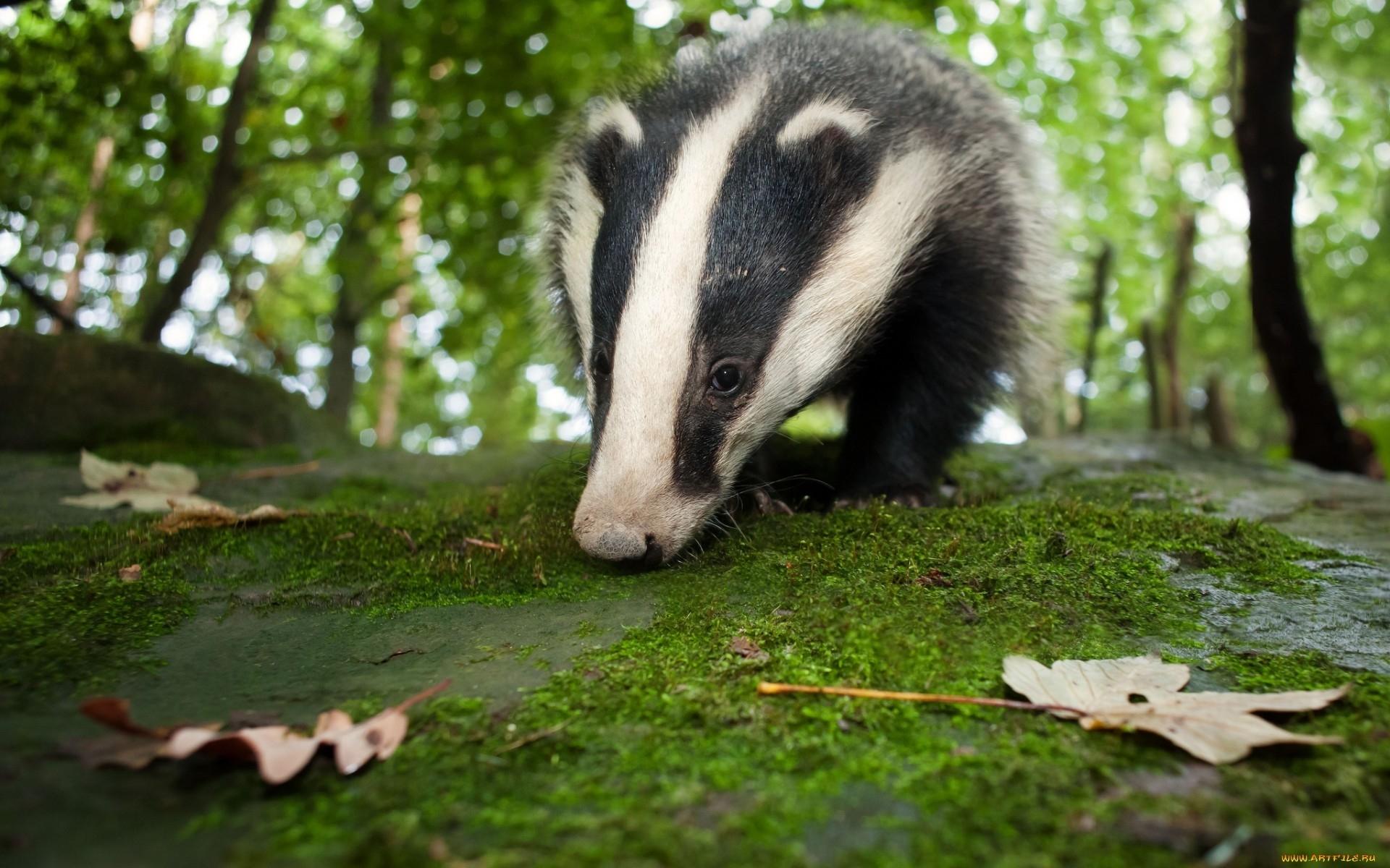 badger hd