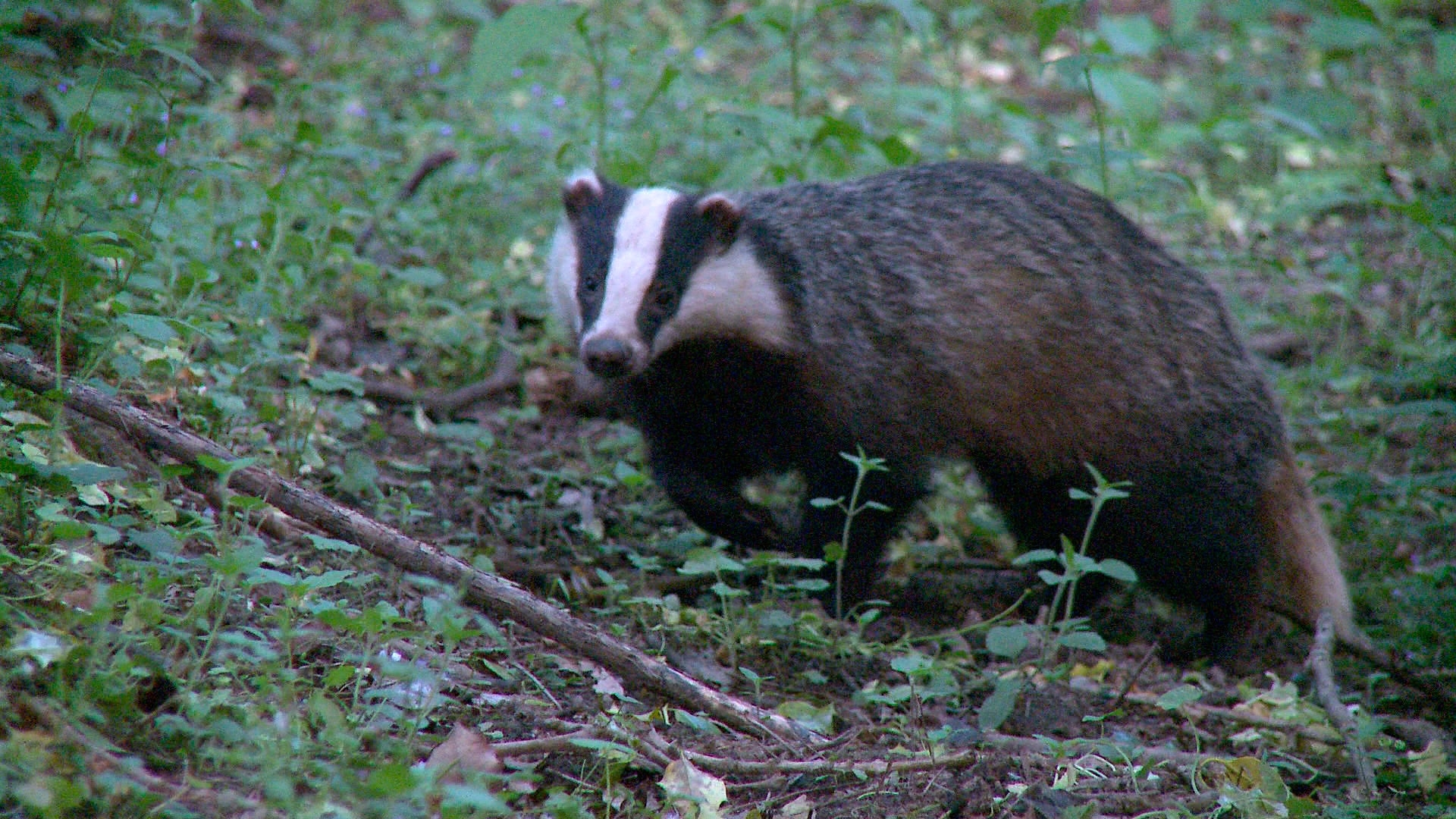 badger image