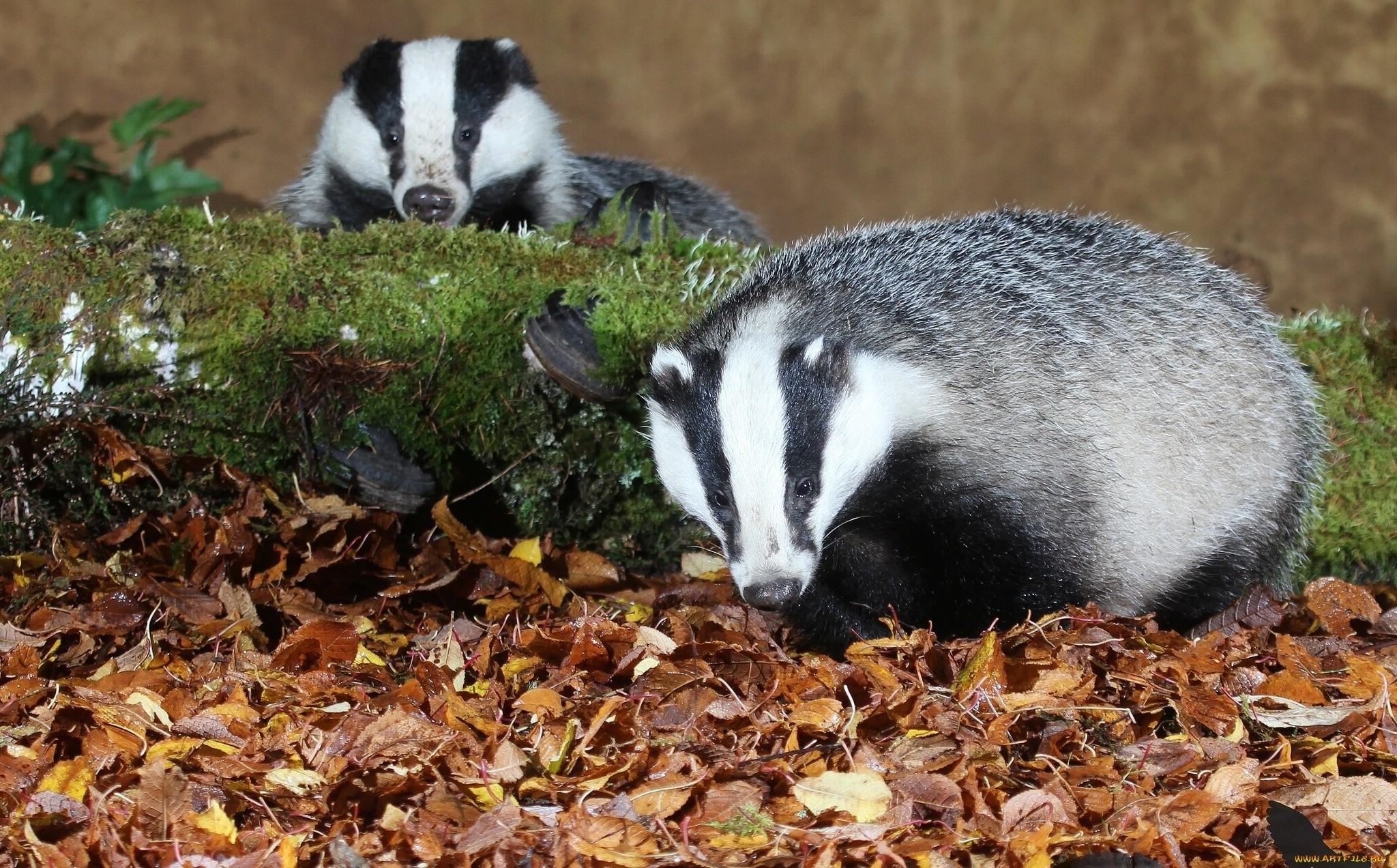 badger images