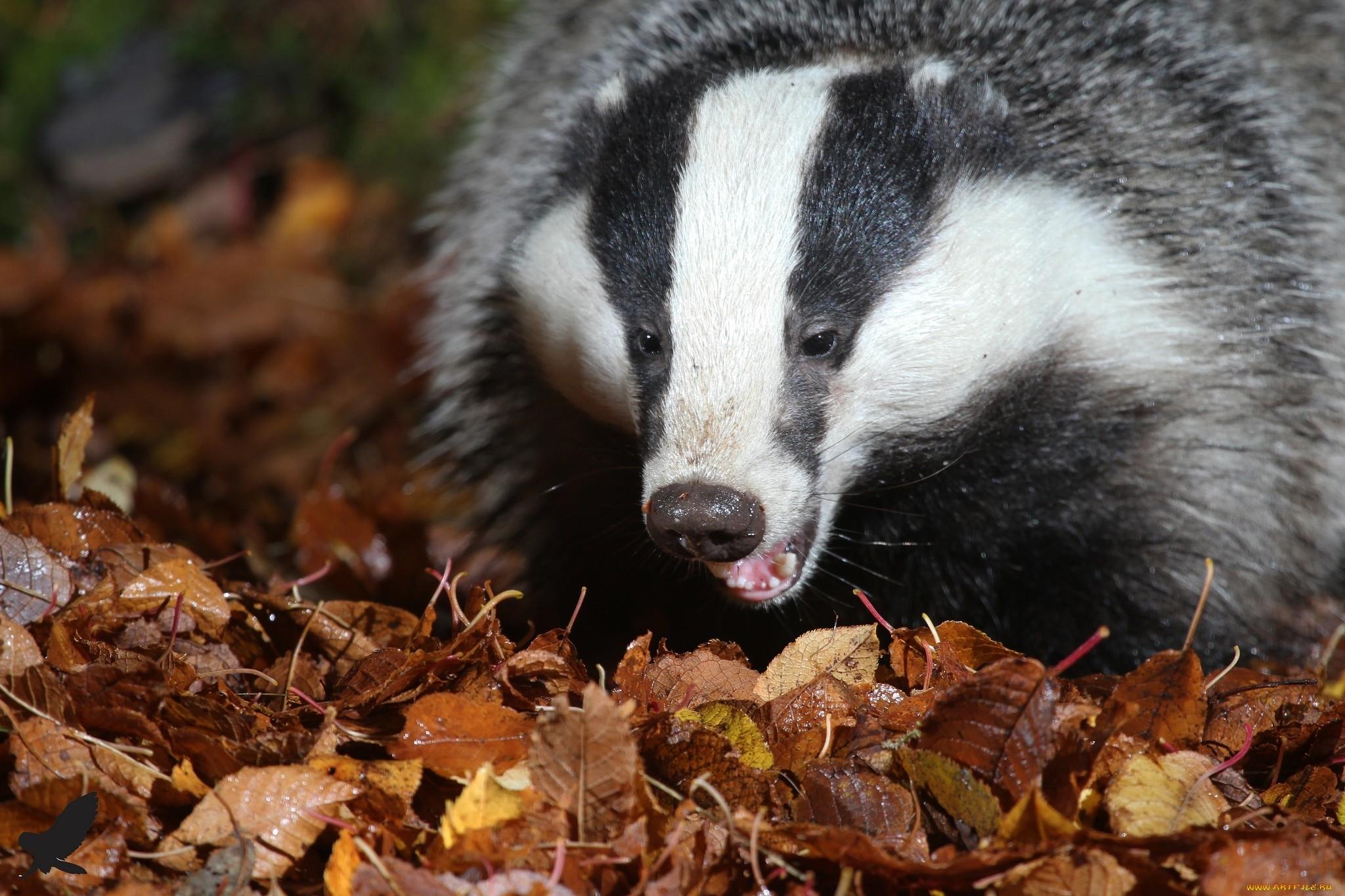 badger photos