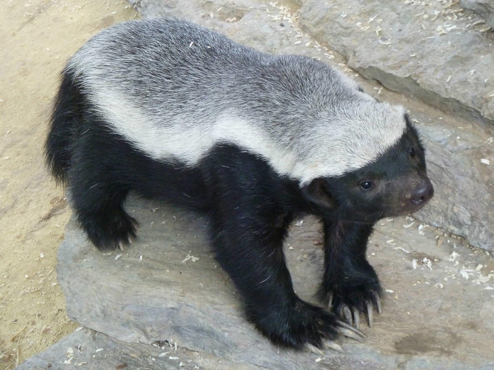 badger pic