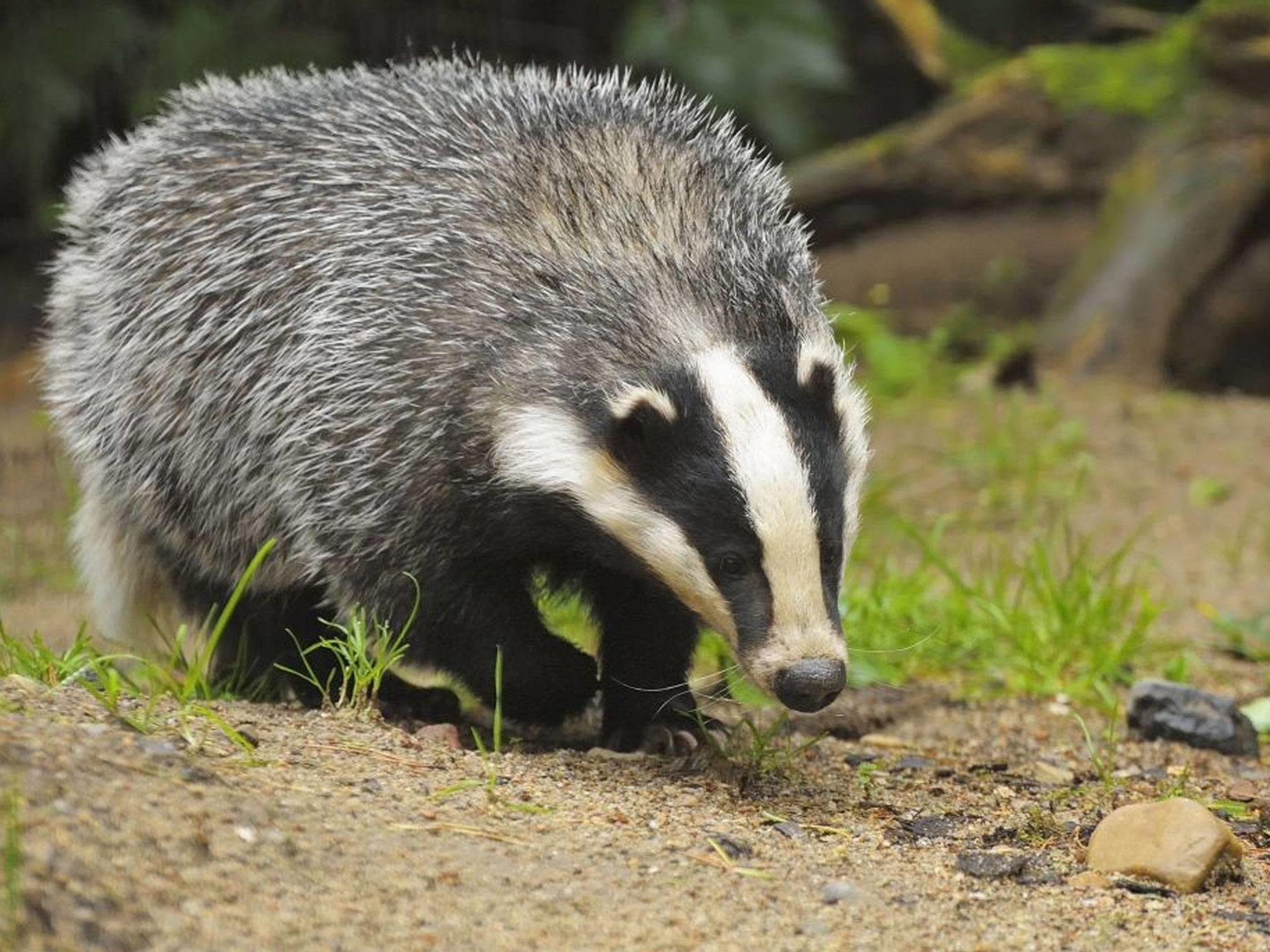 badger pics