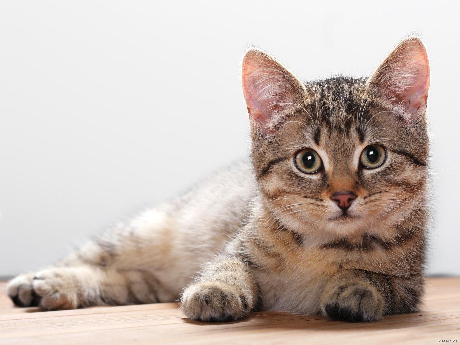 cat wallpapers for deskto