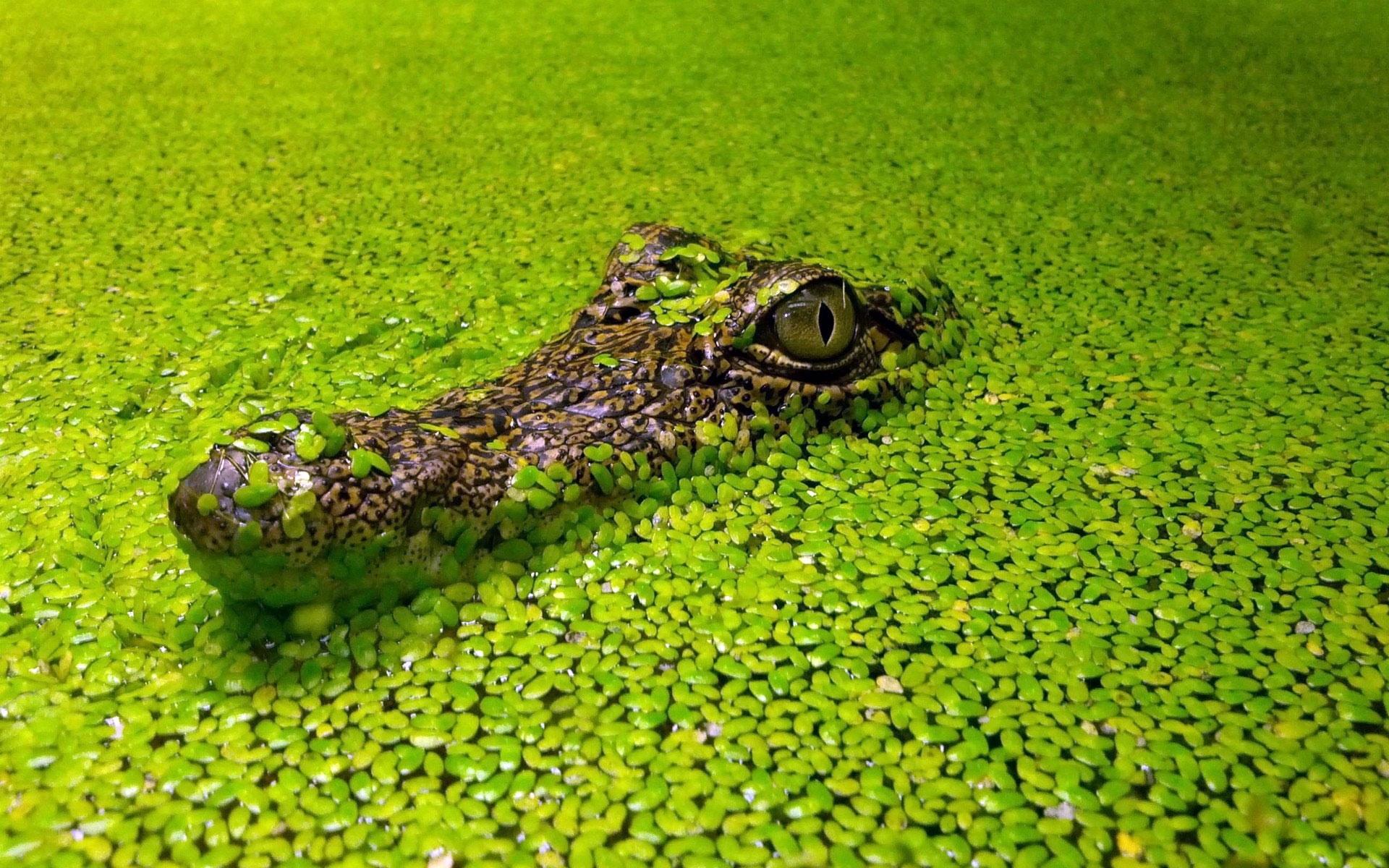 crocodile 1080
