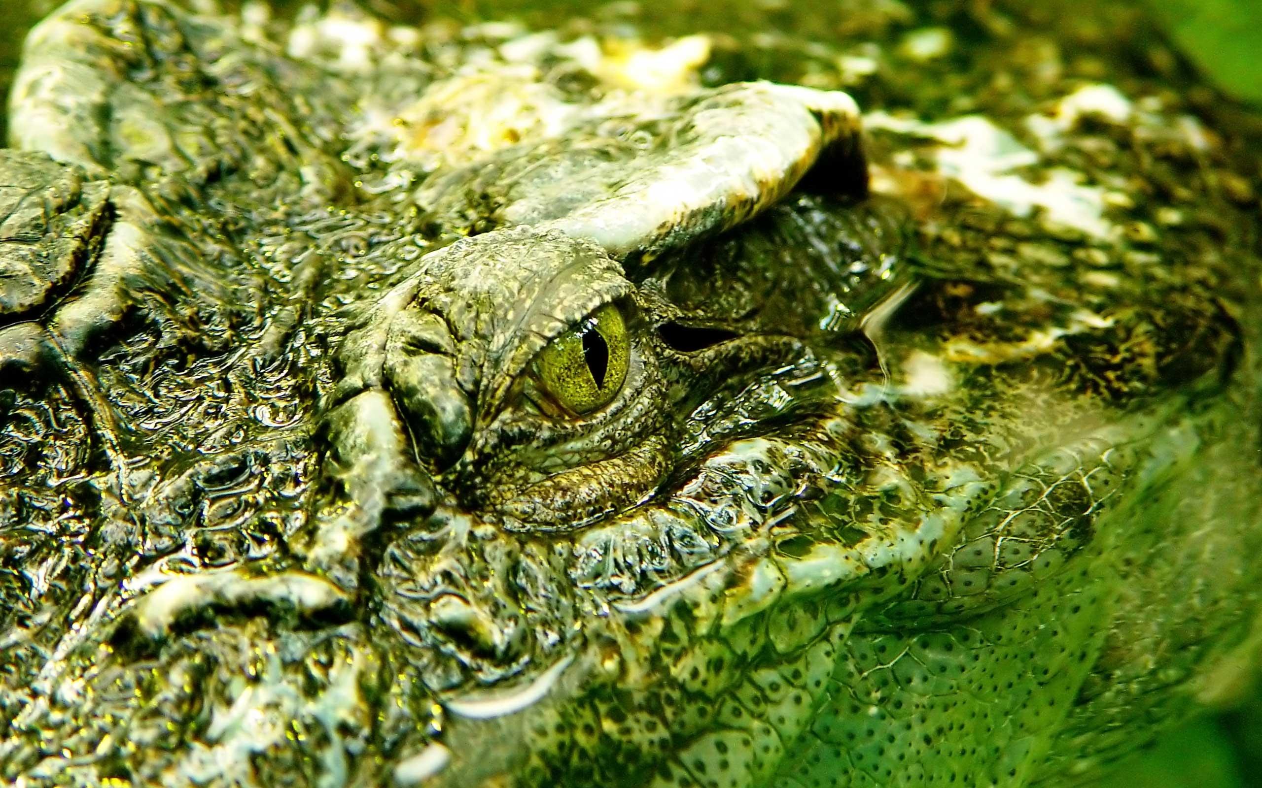 crocodile hd deskto