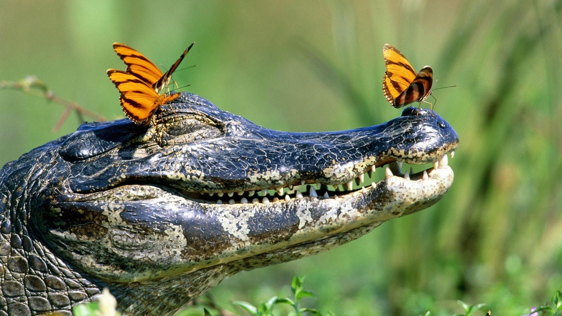 crocodile new photos