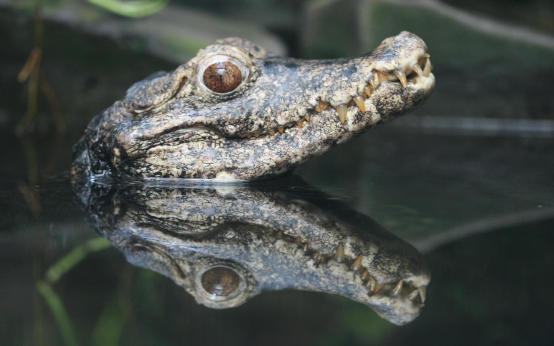 crocodile pics