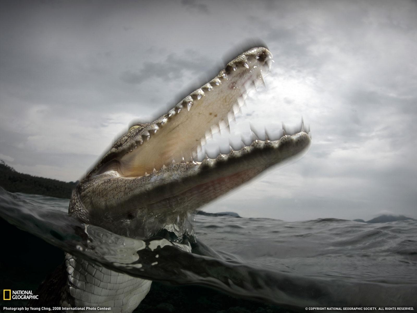 crocodile wallpapers hd