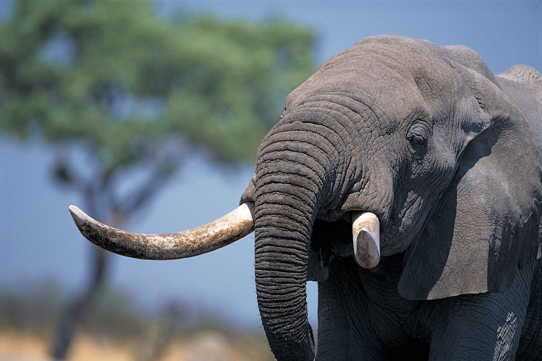 elephant deskto