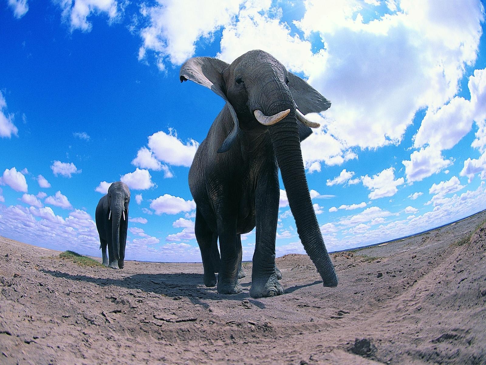 elephant free