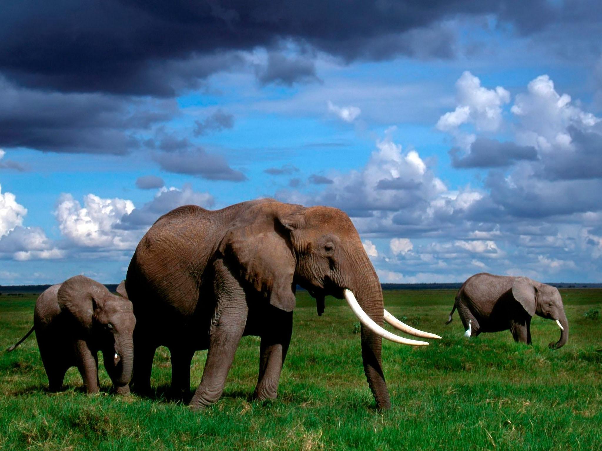elephant hd