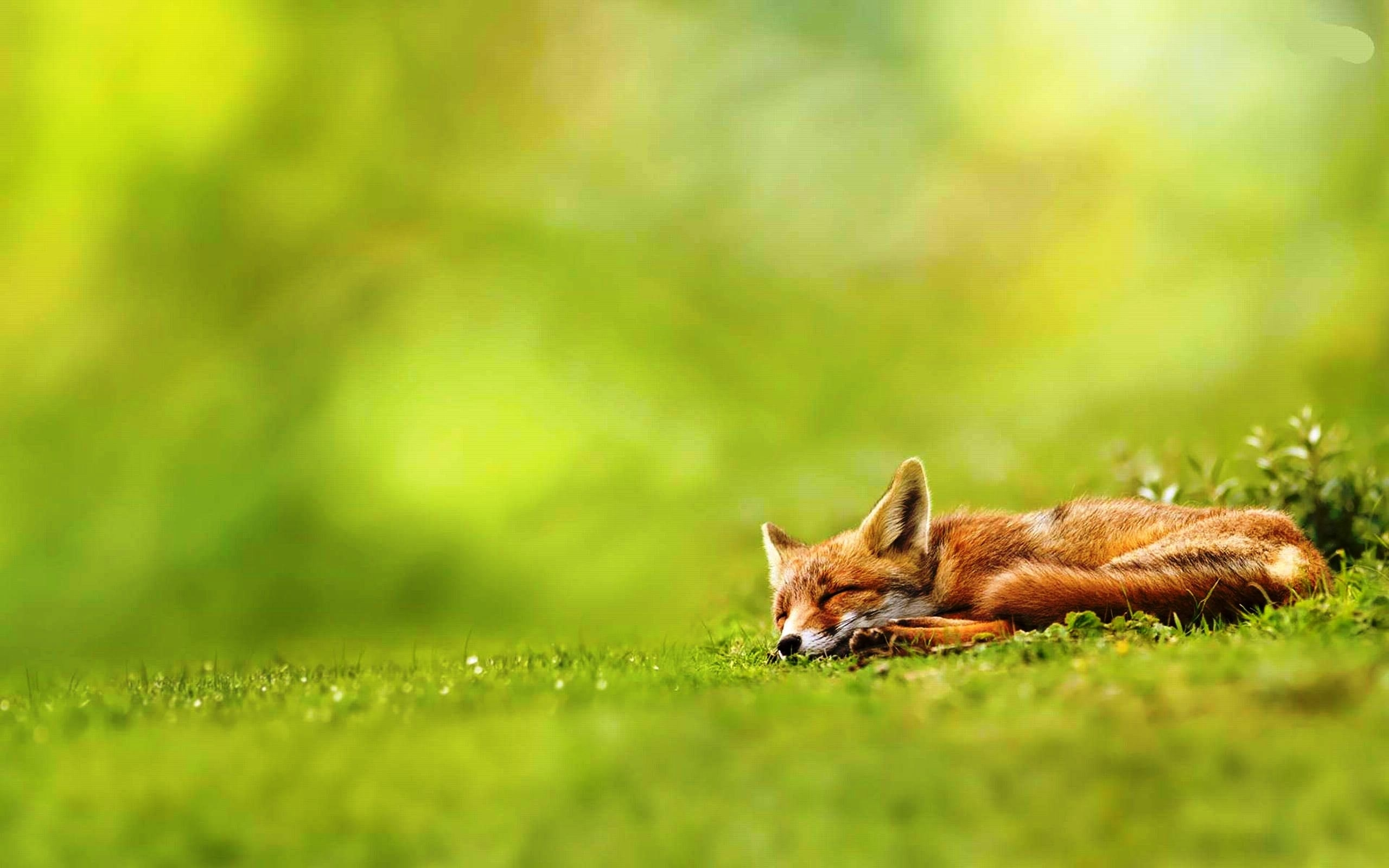 fox free wallpapers