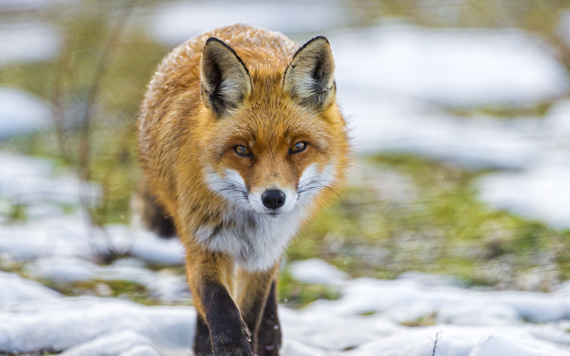 fox full hd wallpaper