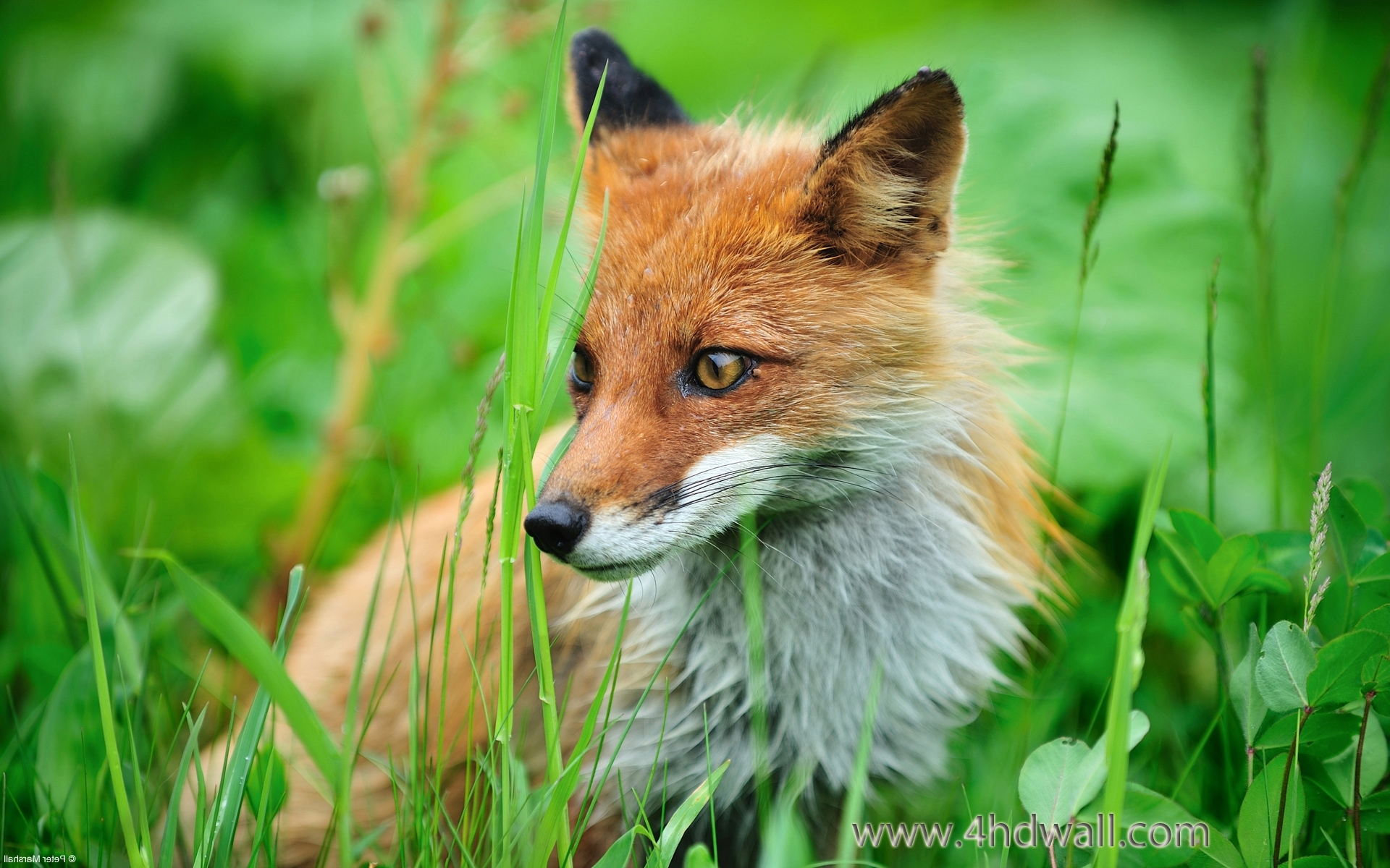 fox full hd