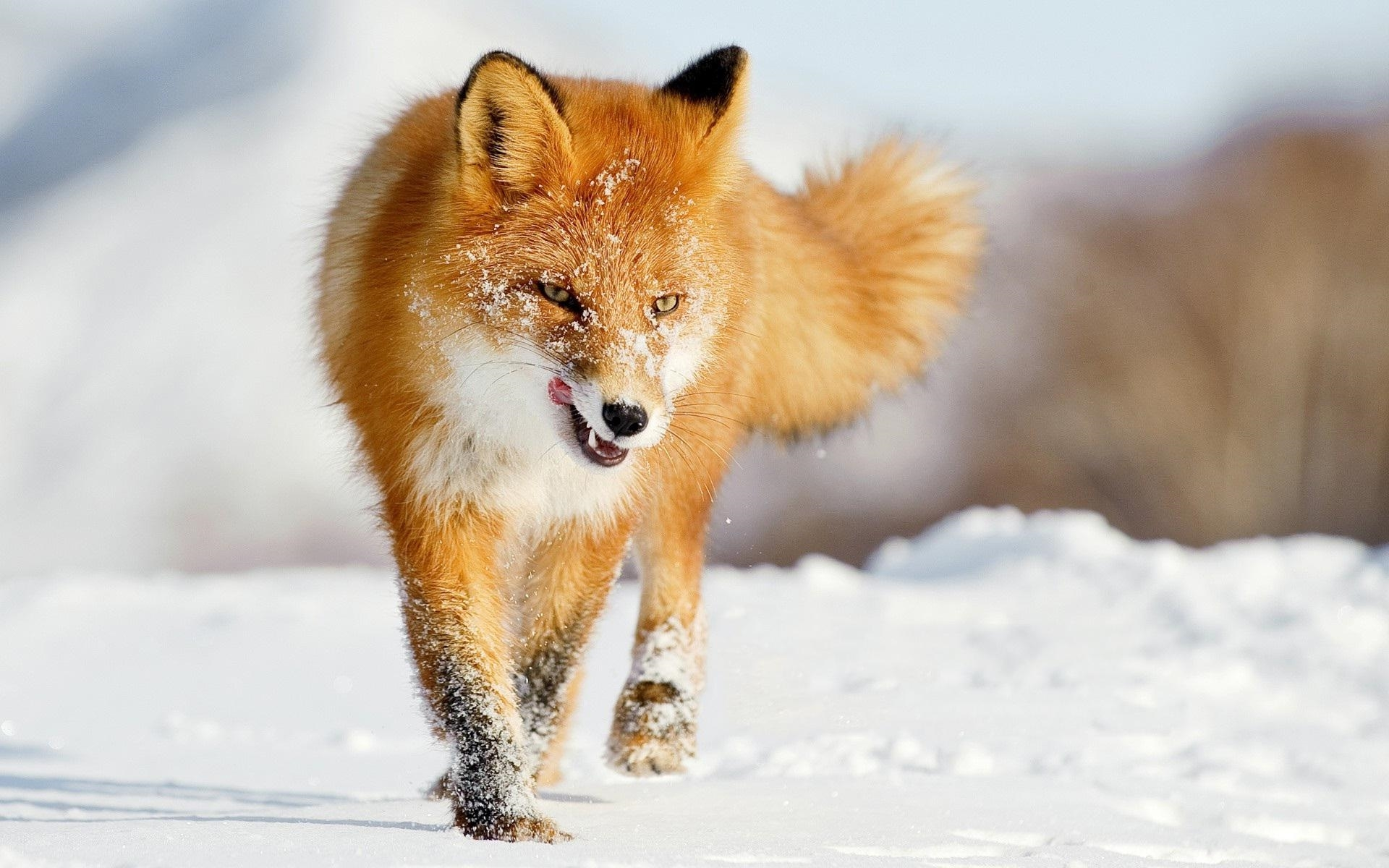 fox high definition wallpapers