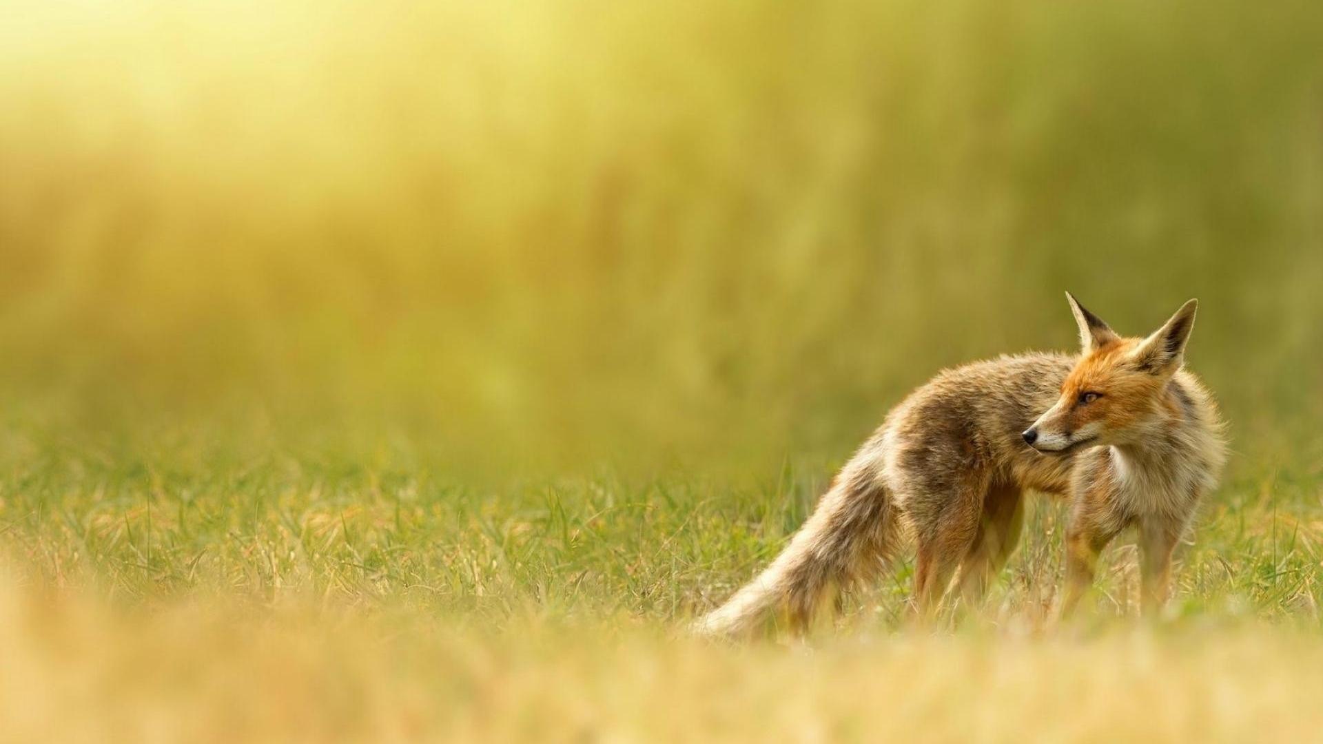 fox pic