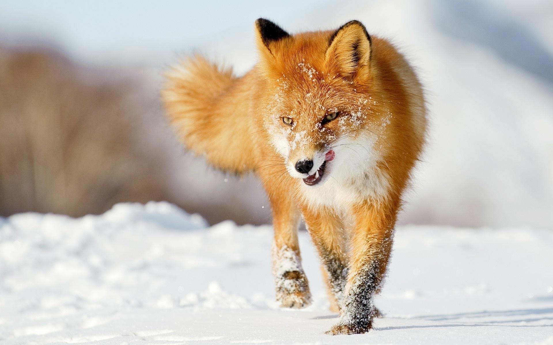 fox wallpapers for deskto
