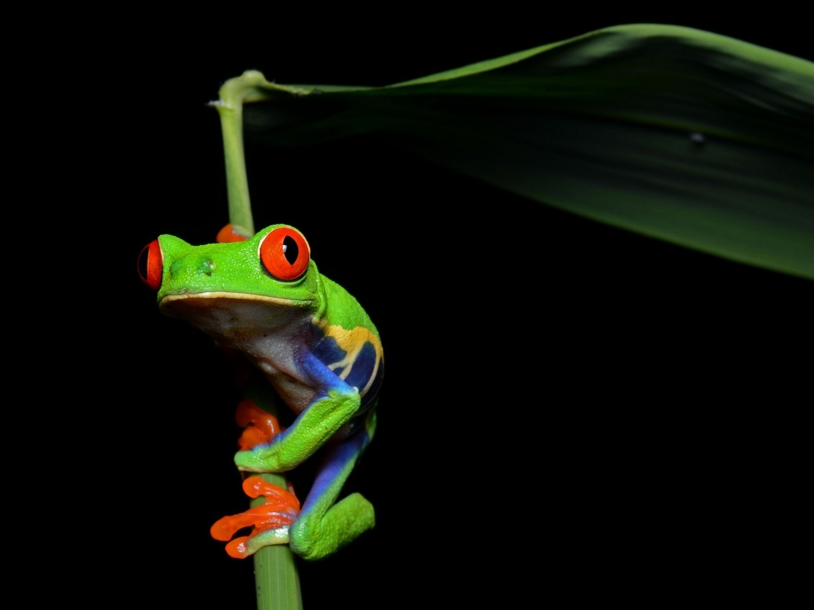 frog deskto