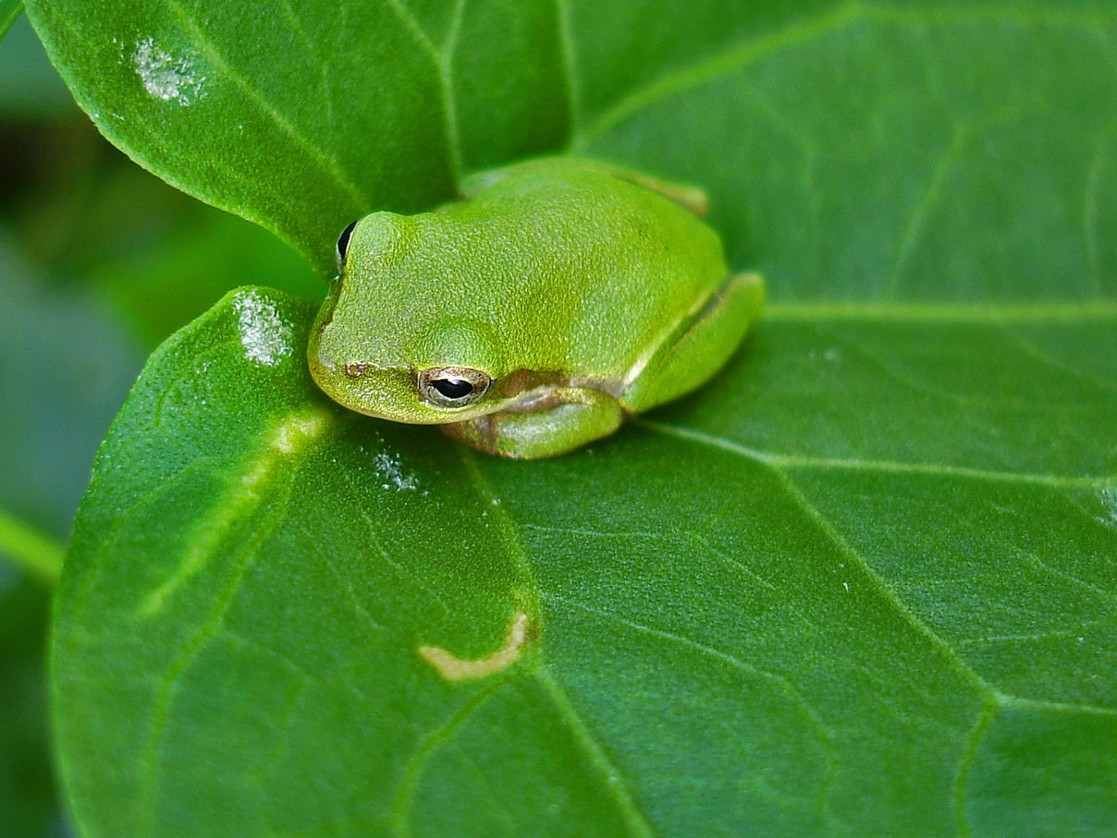 frog download wallpaper