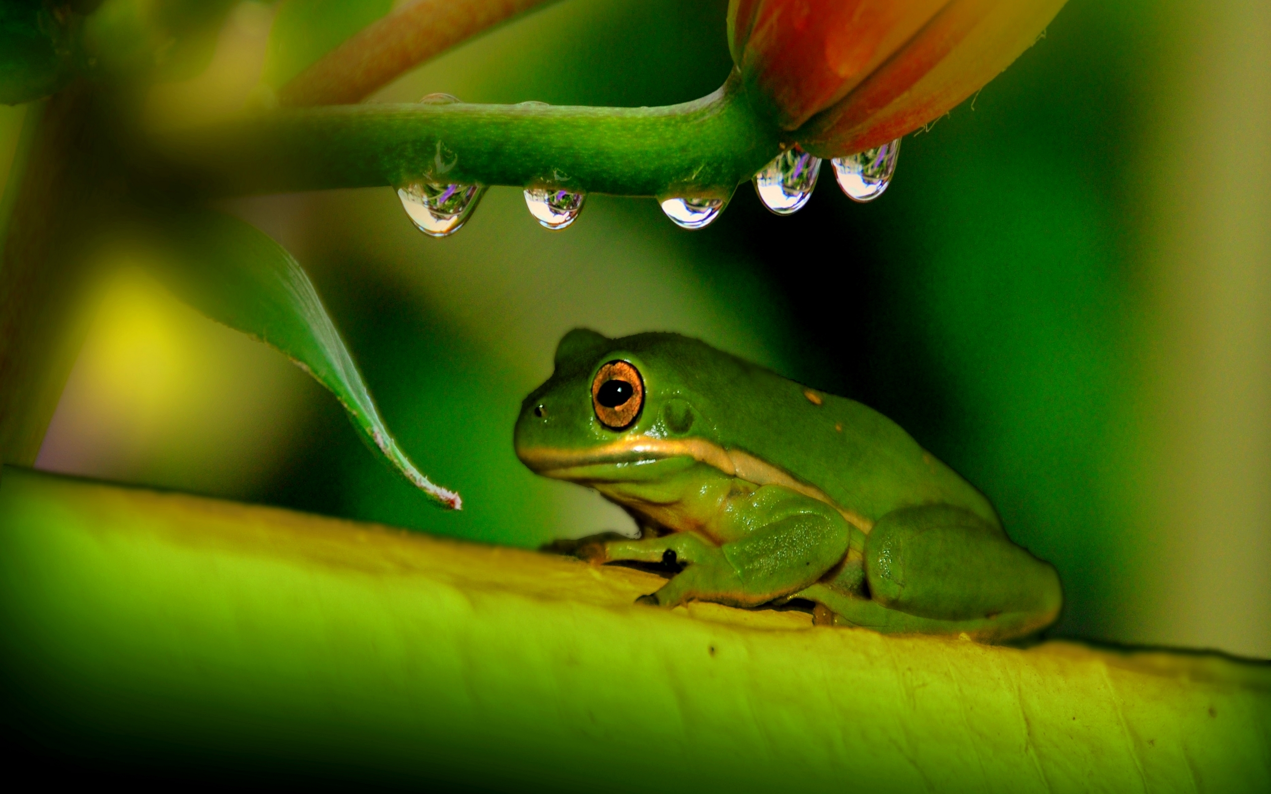 frog free wallpapers