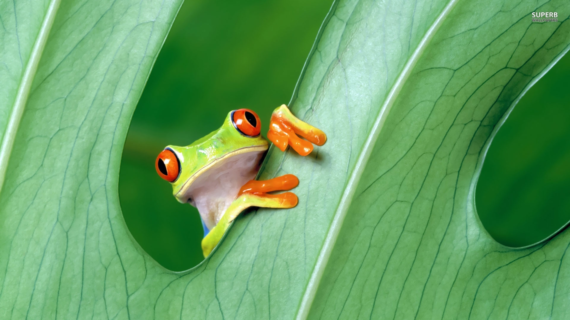 frog high definition wallpapers