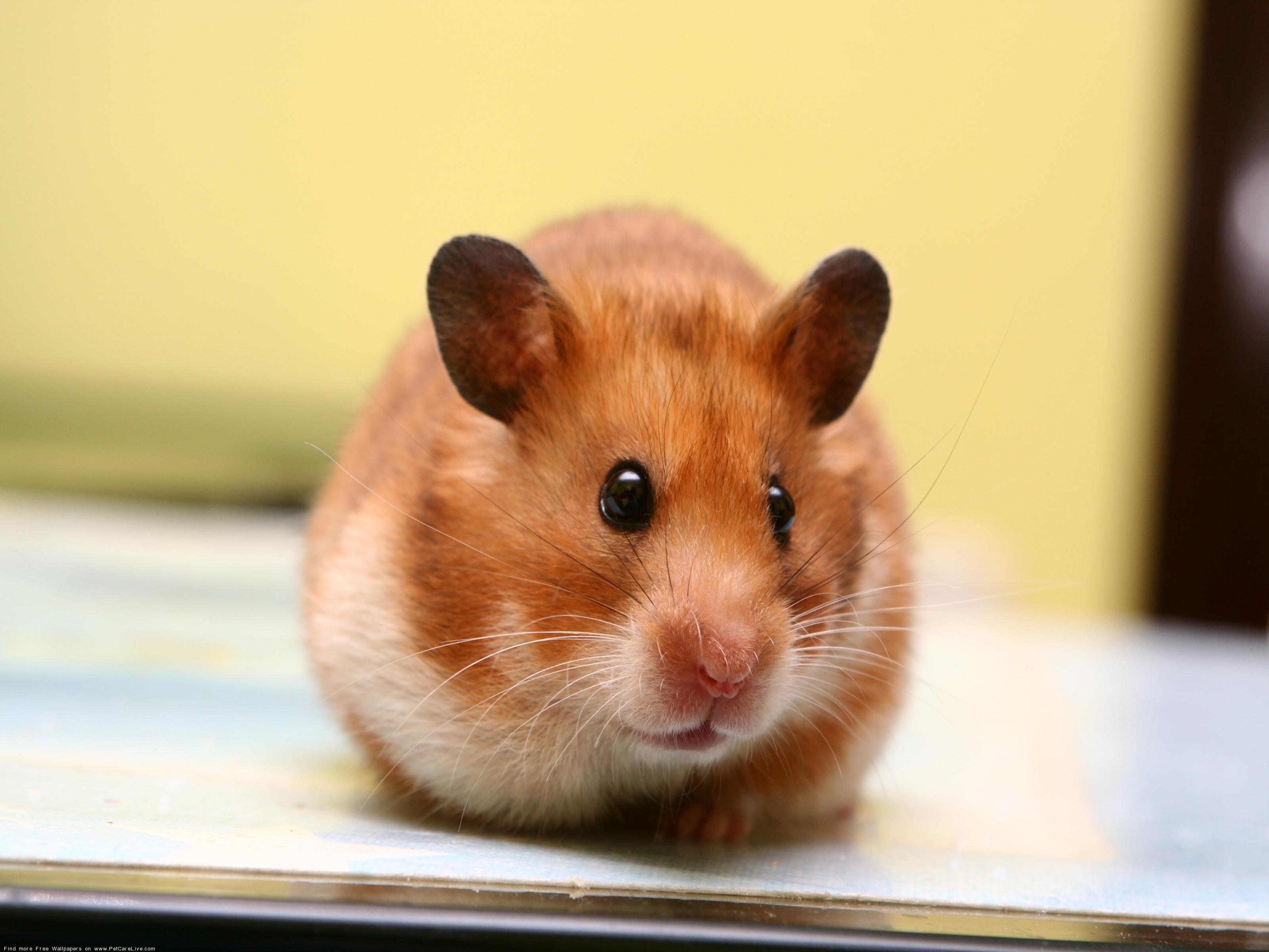 hamster 1080p full hd