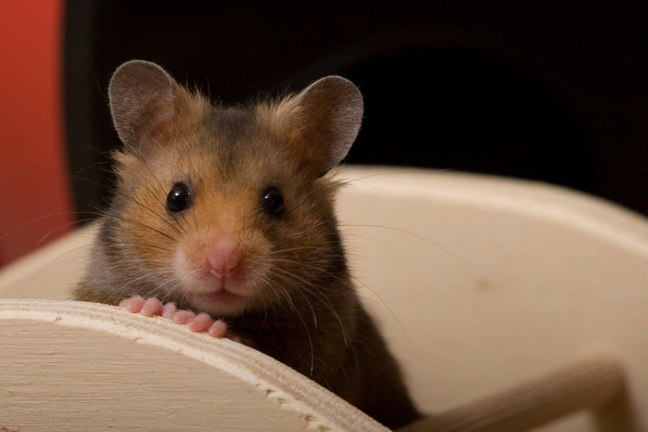 hamster 1080
