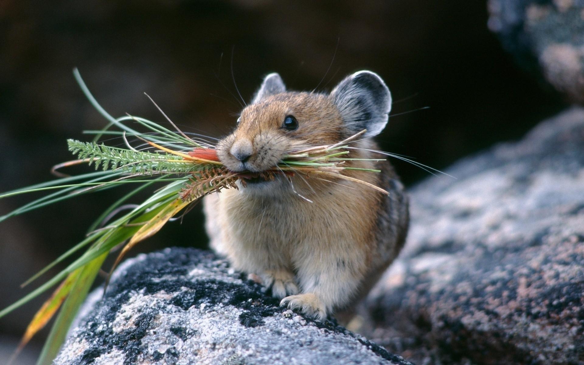 hamster desktop wallpaper