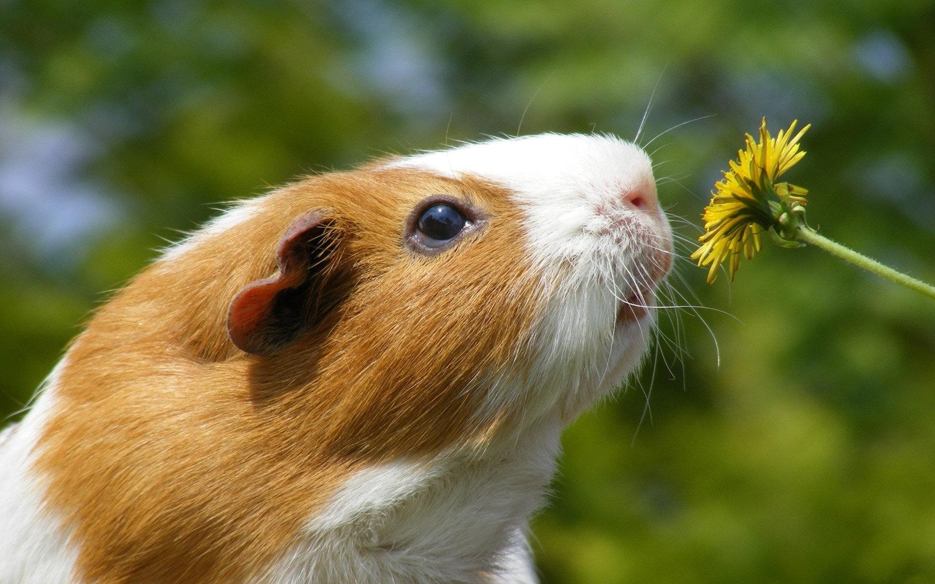 hamster deskto