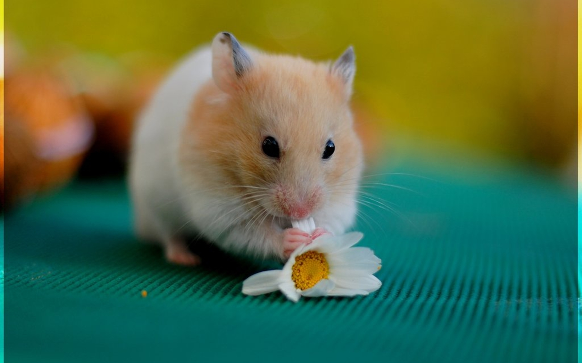 hamster free wallpapers