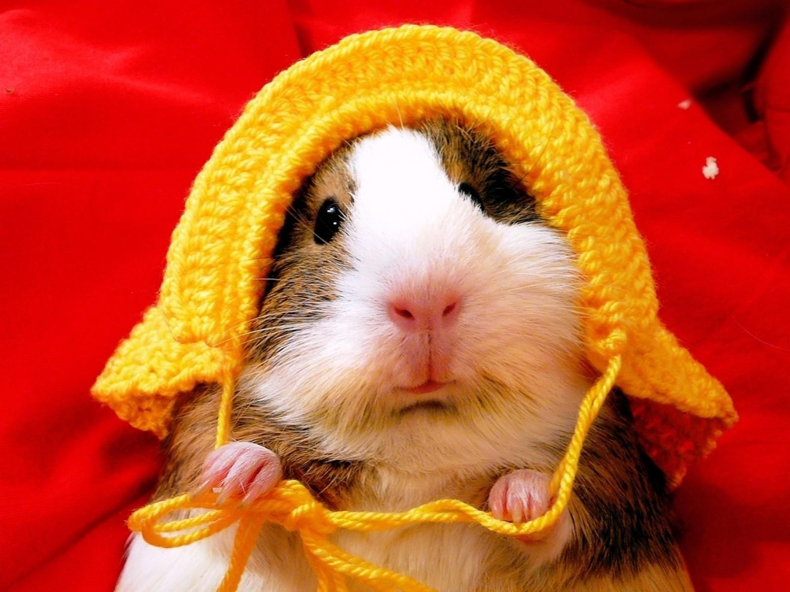 hamster hd deskto