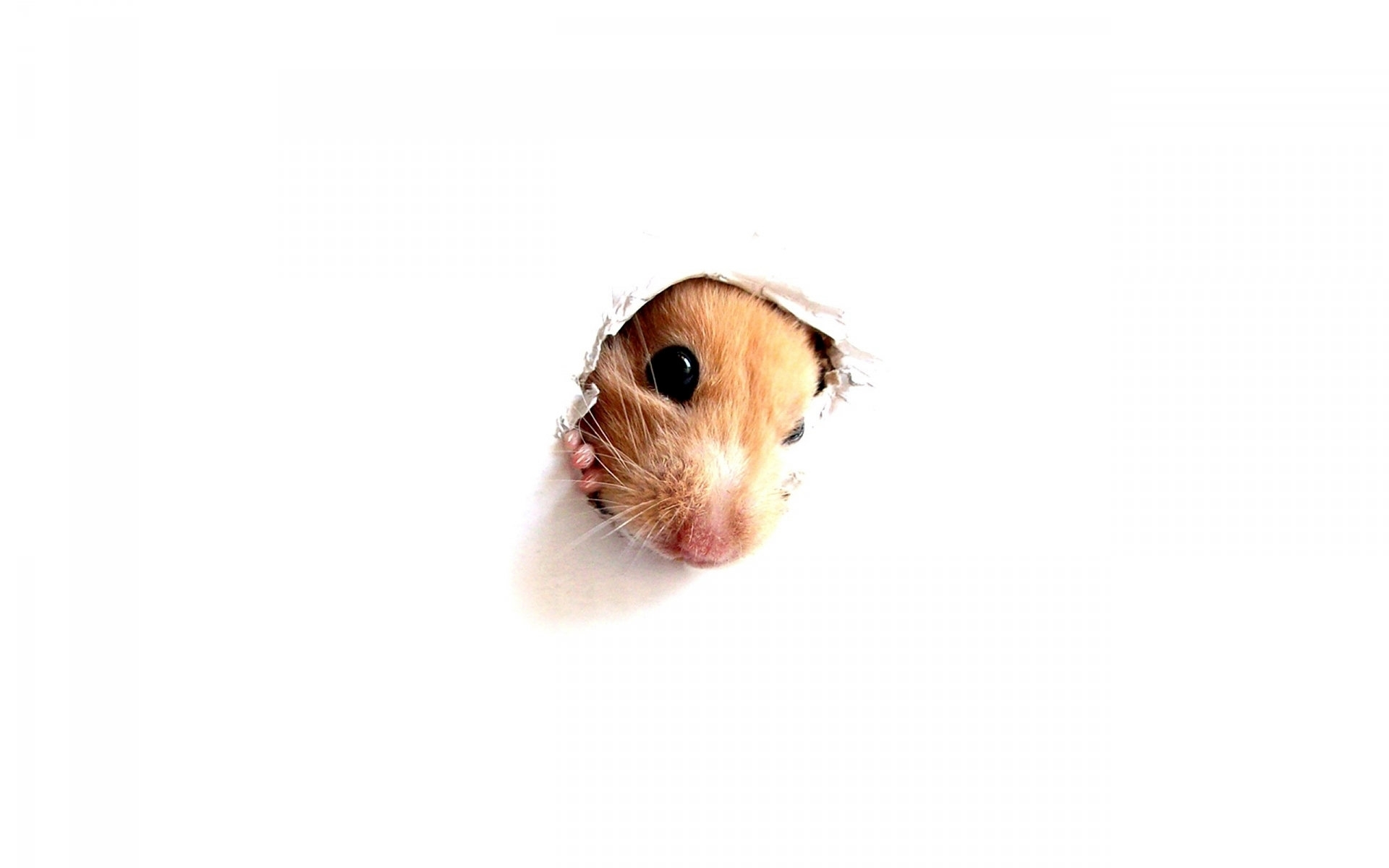 hamster hd photos