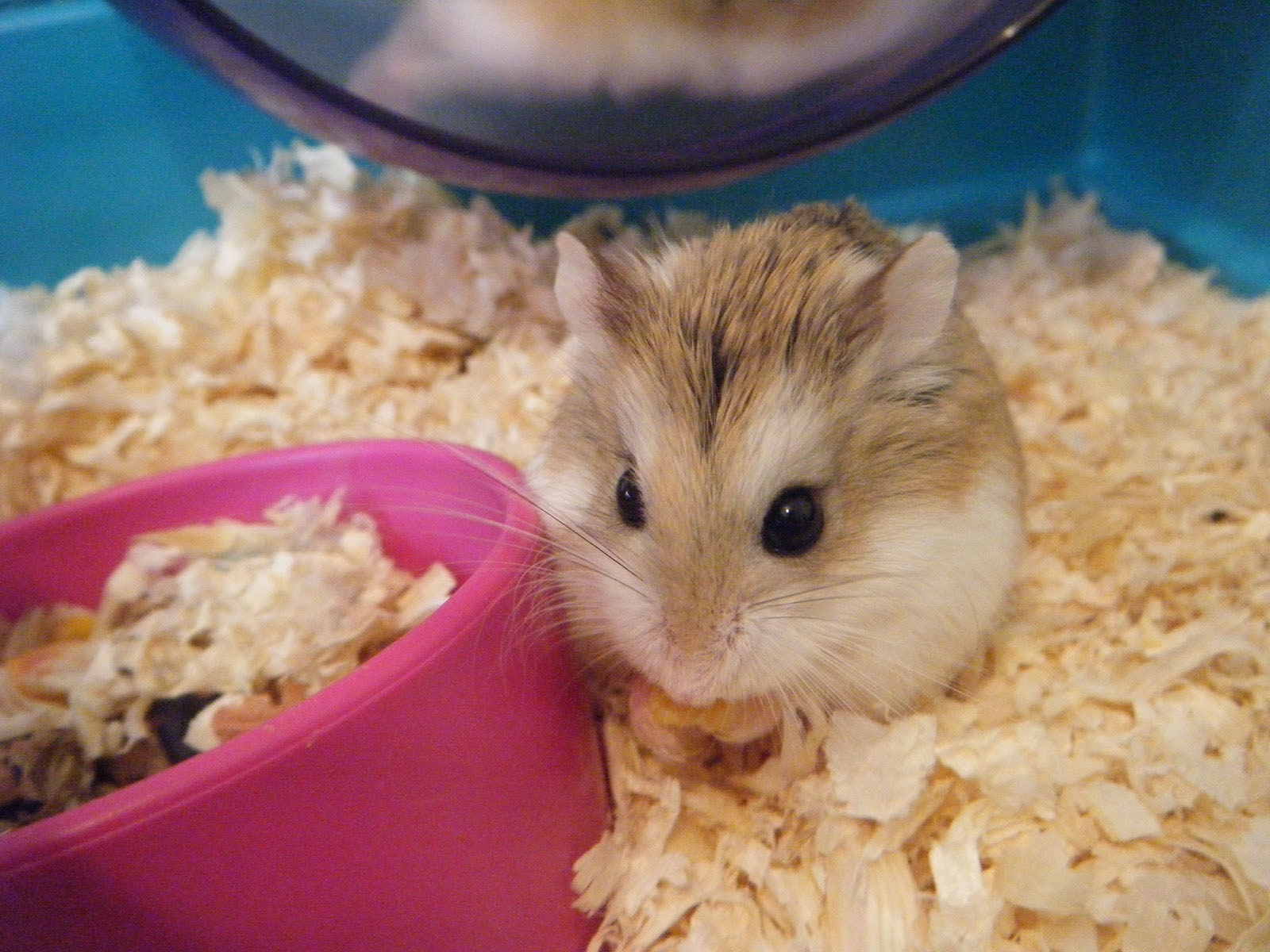 hamster high definition wallpapers