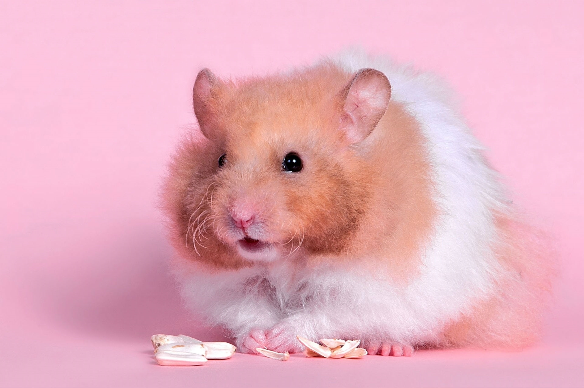 hamster images