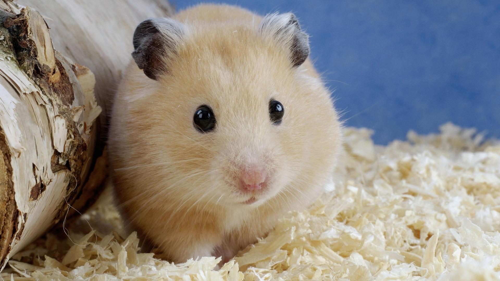 hamster mobile wallppaers