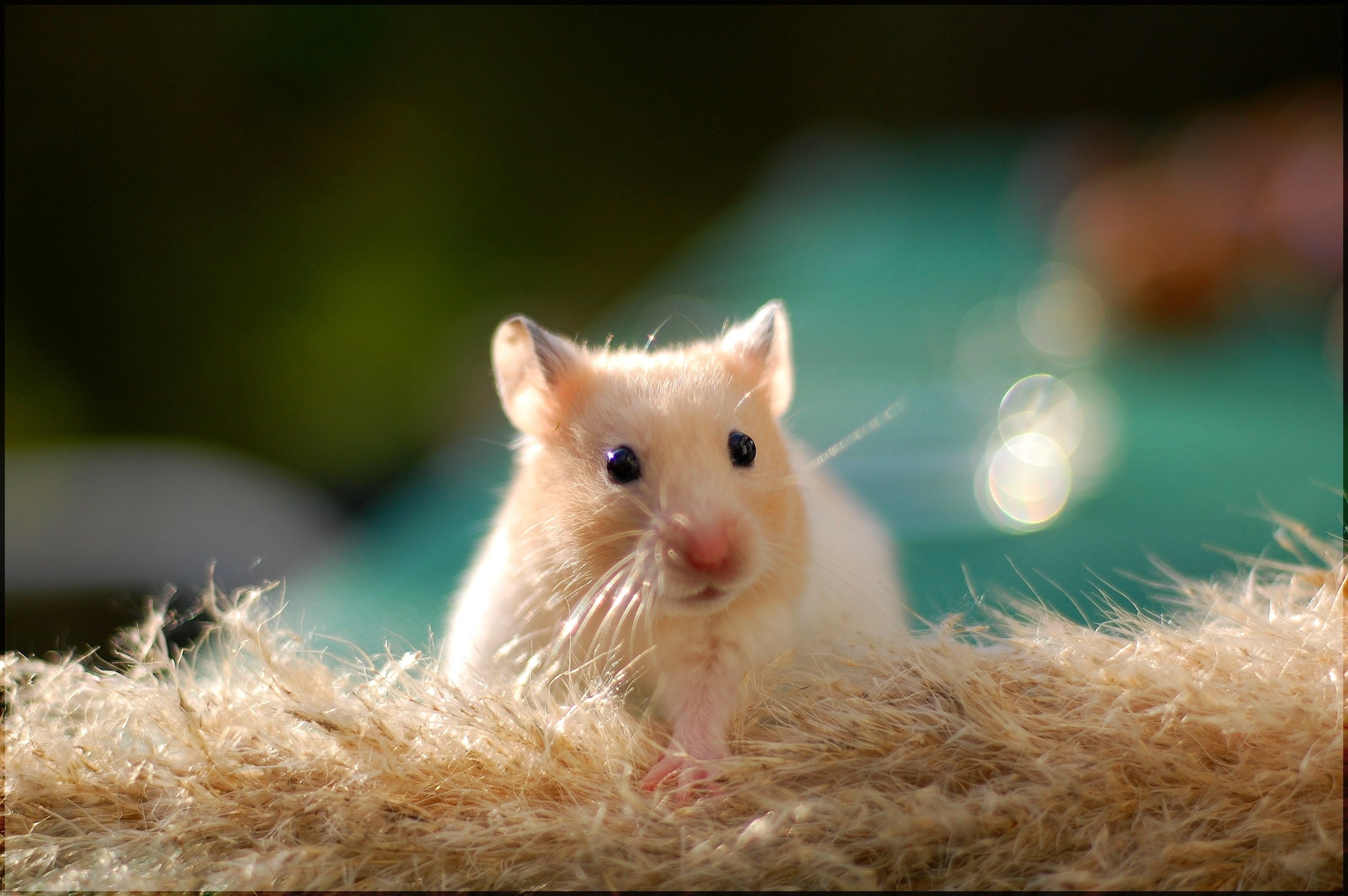 hamster new wallpapers