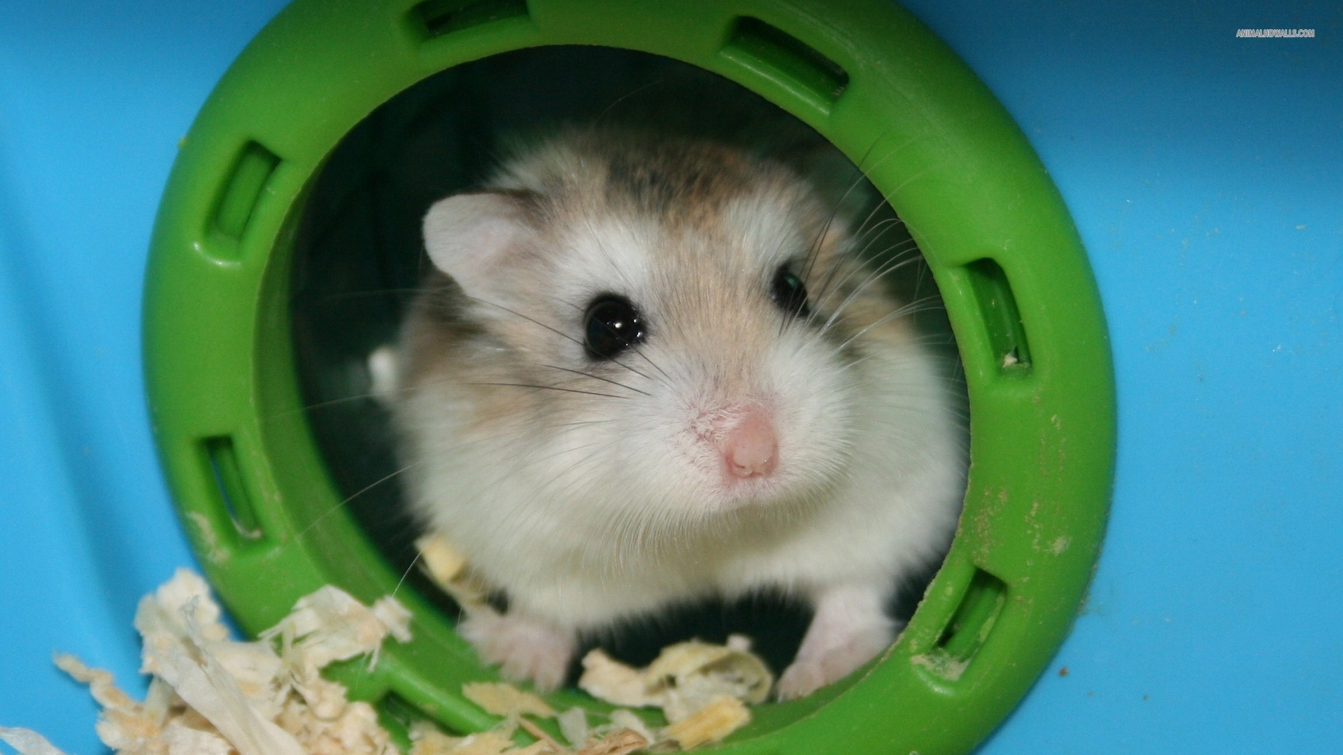 hamster pc wallpapers