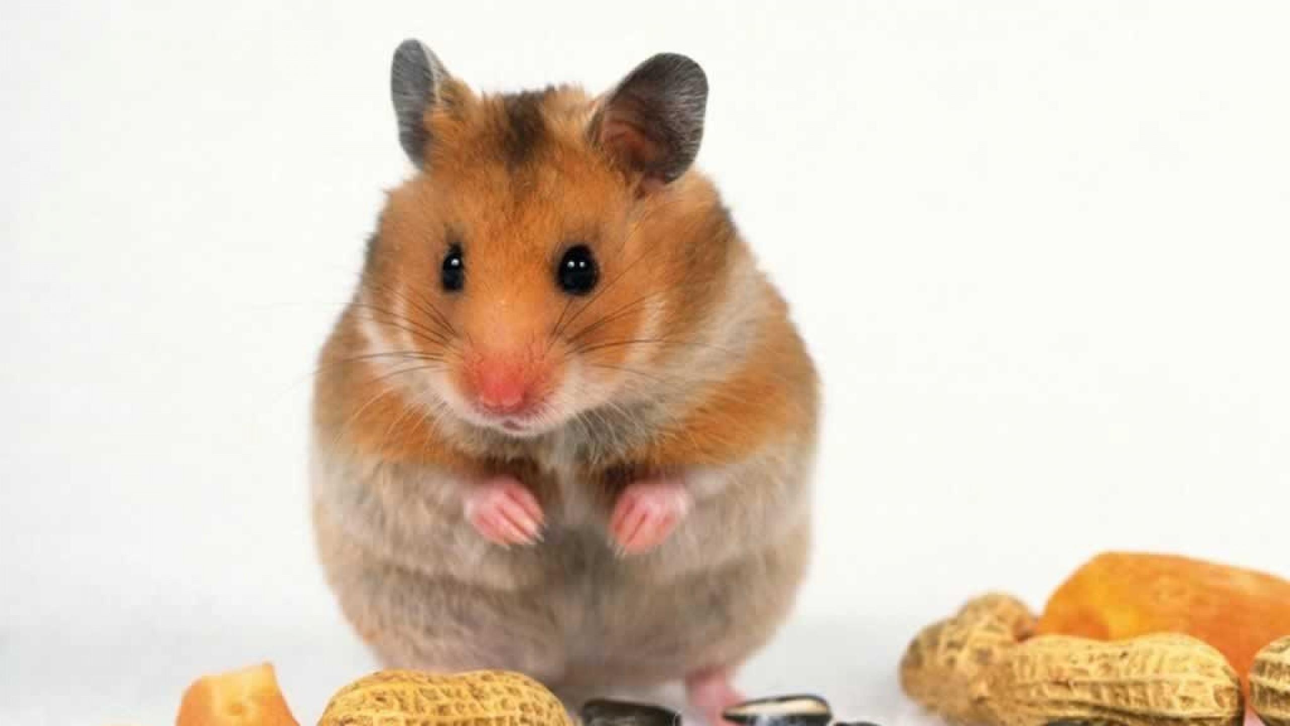 hamster pics