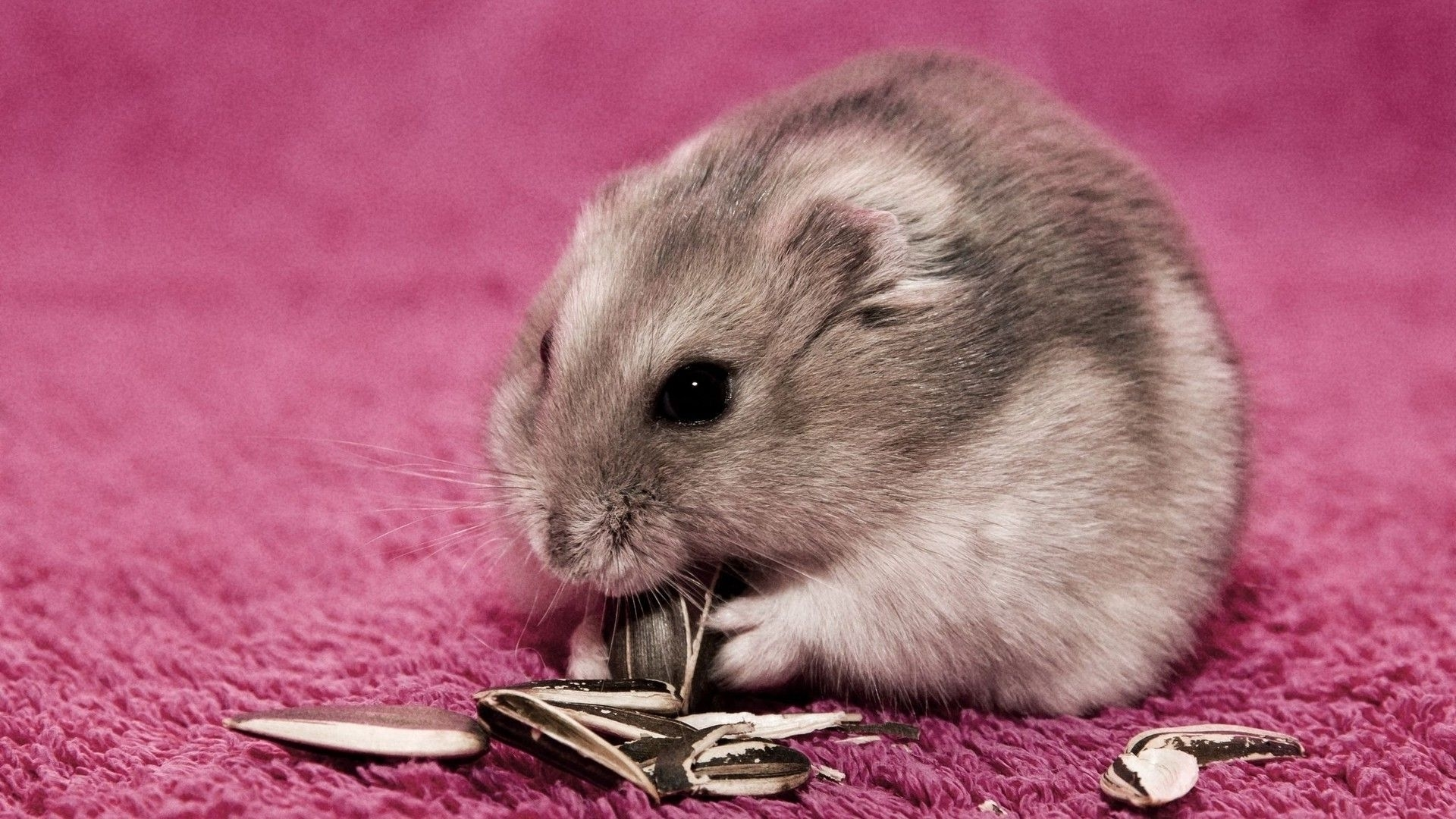 hamster wallpapers for deskto