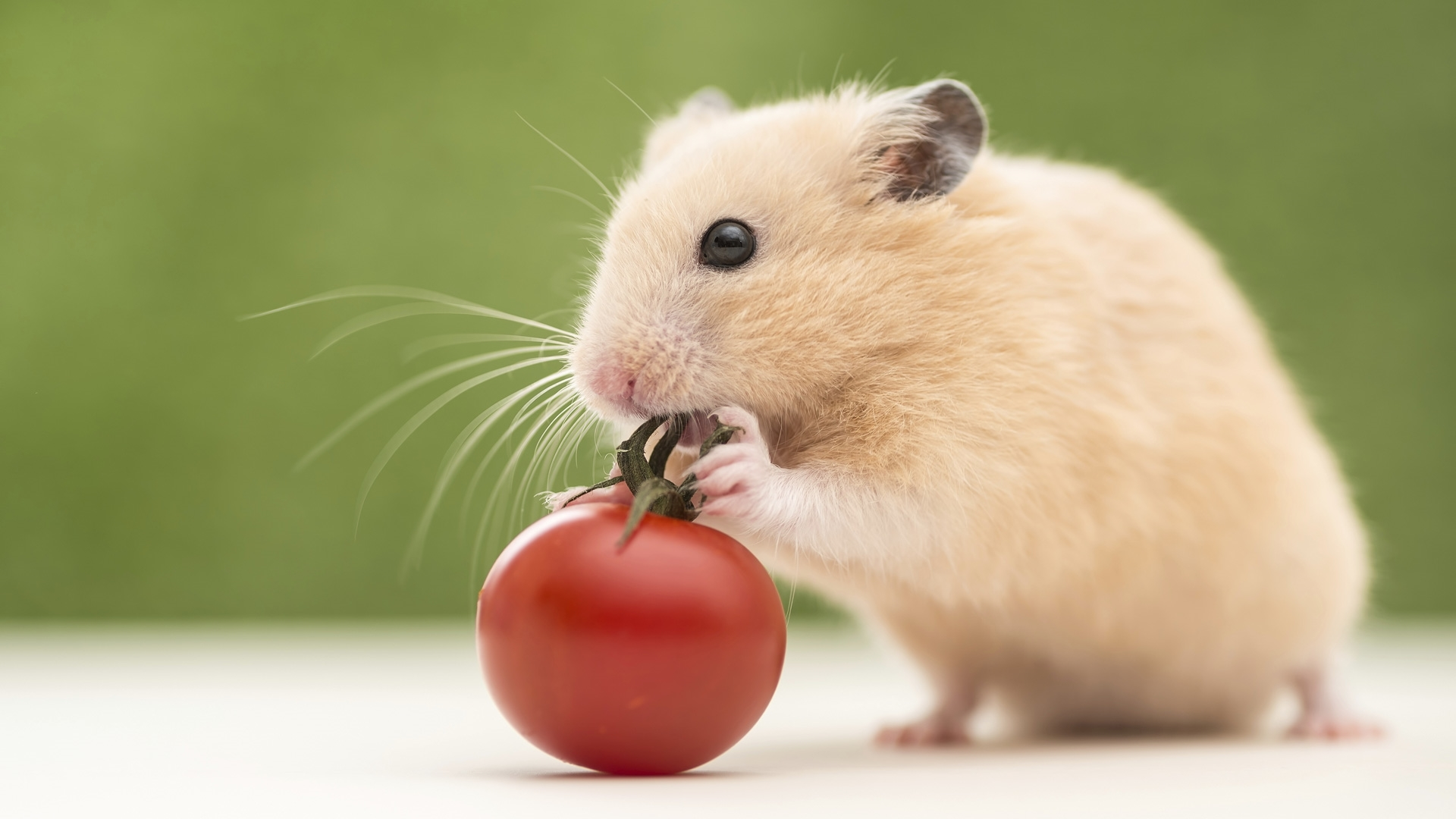 hamster wallpapers for iphone