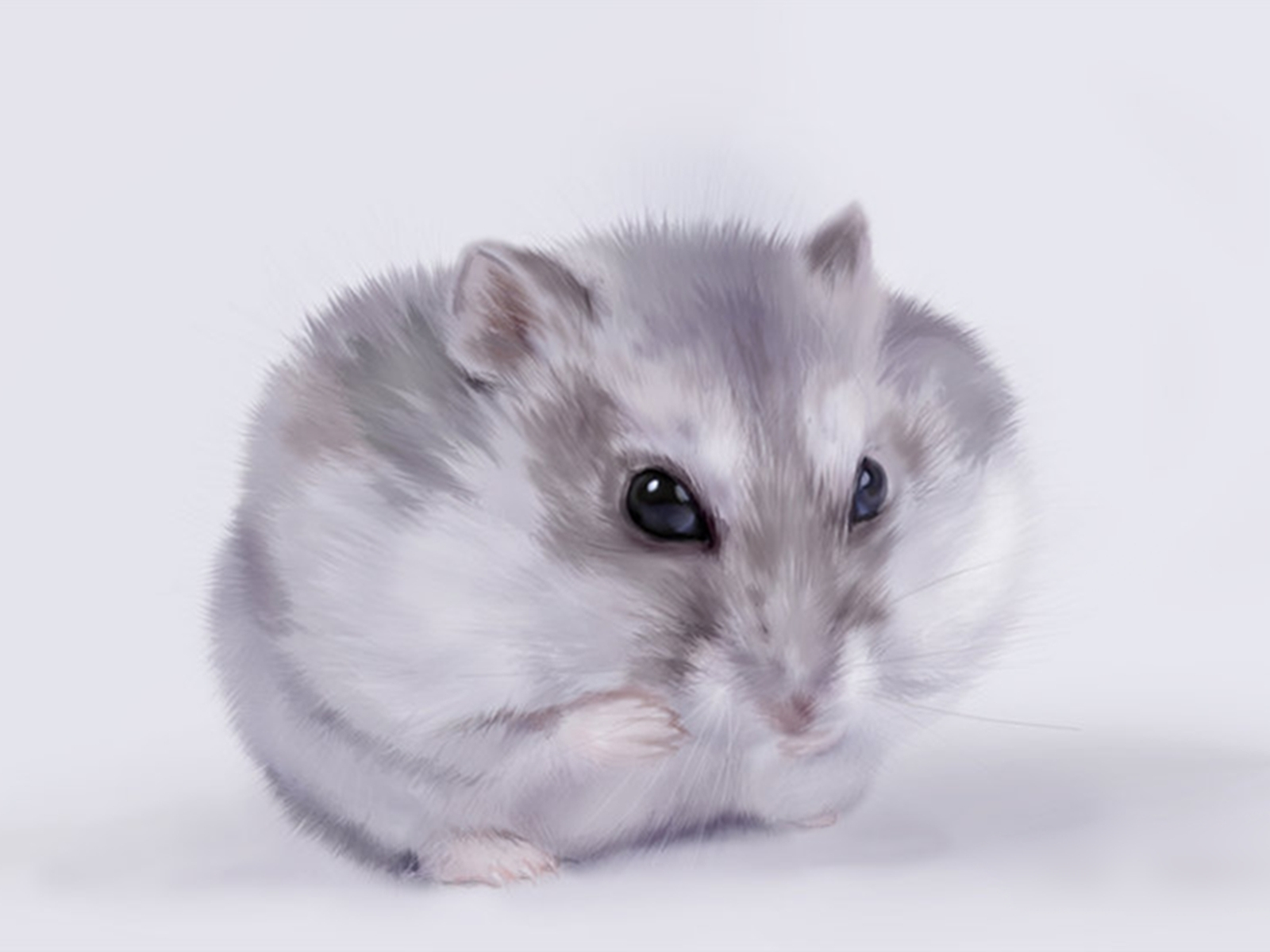 hamster wallpapers hd