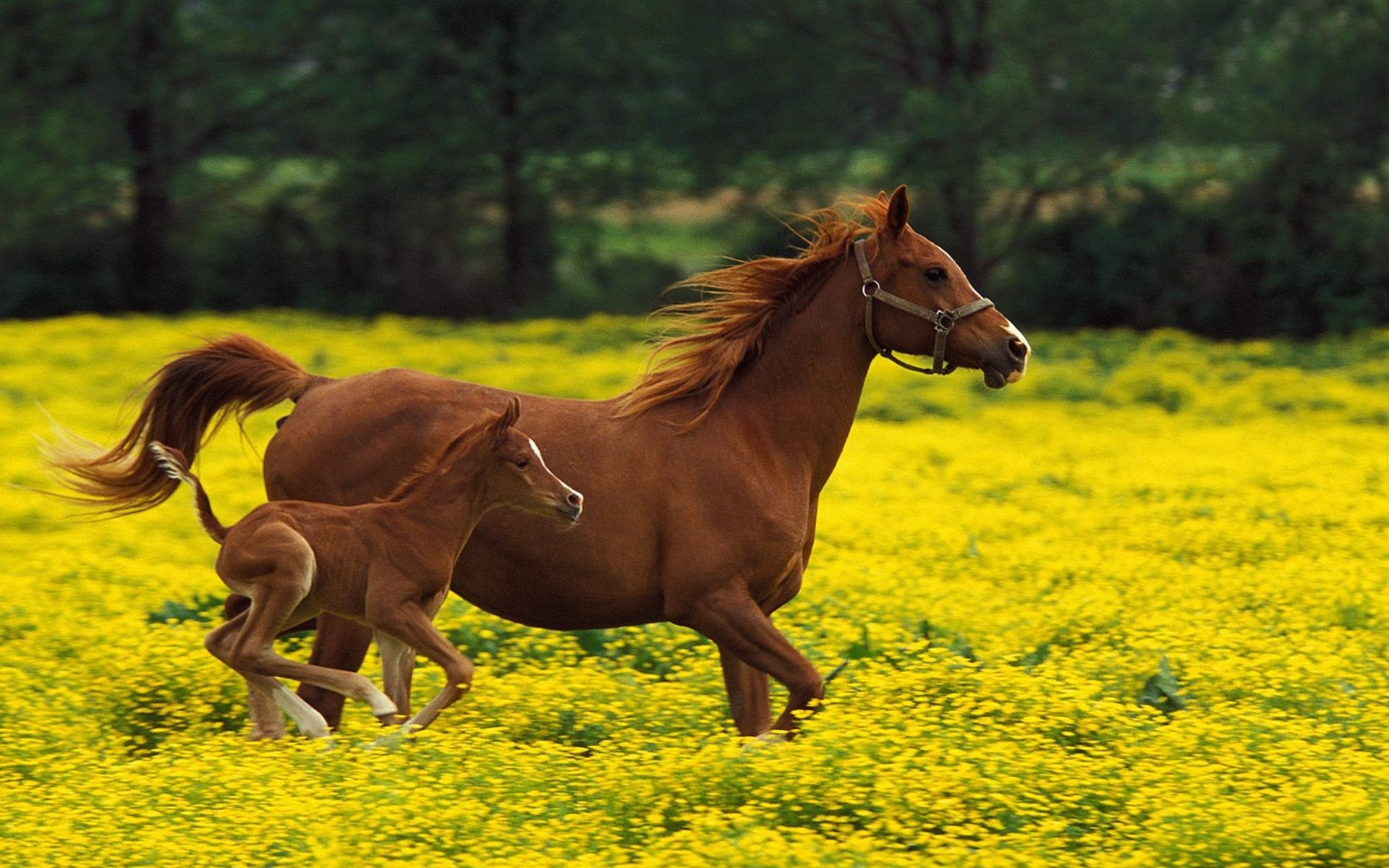 horse pc wallpapers