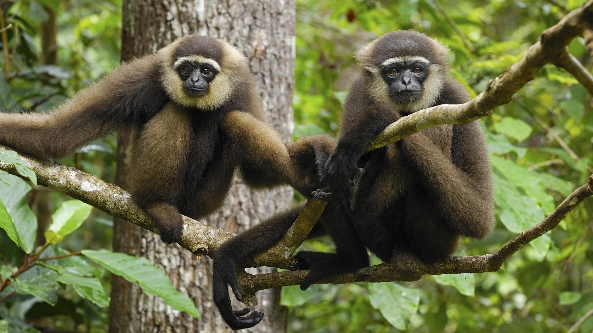 monkey desktop wallpaper